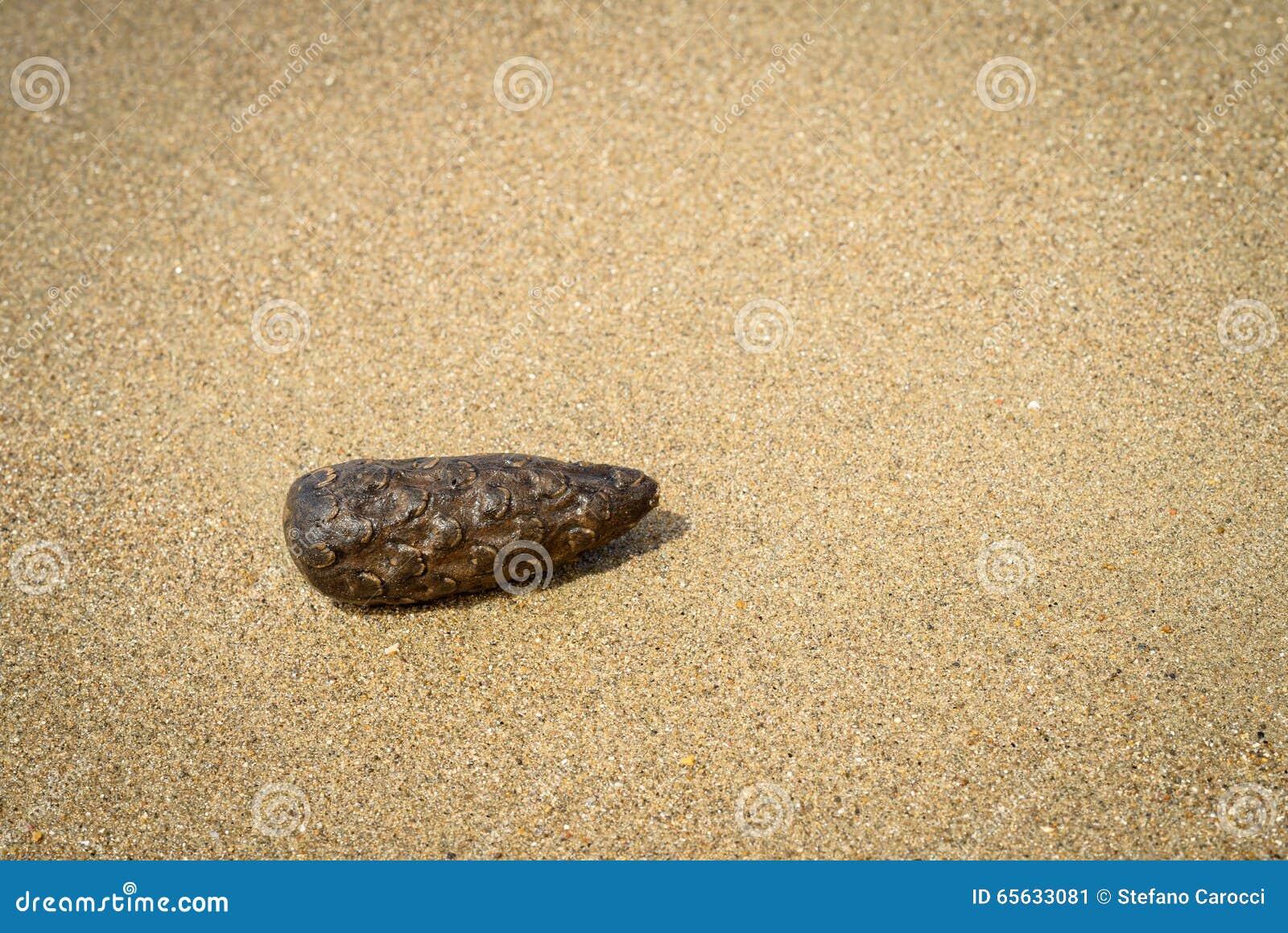 Cône de pin sur le sable