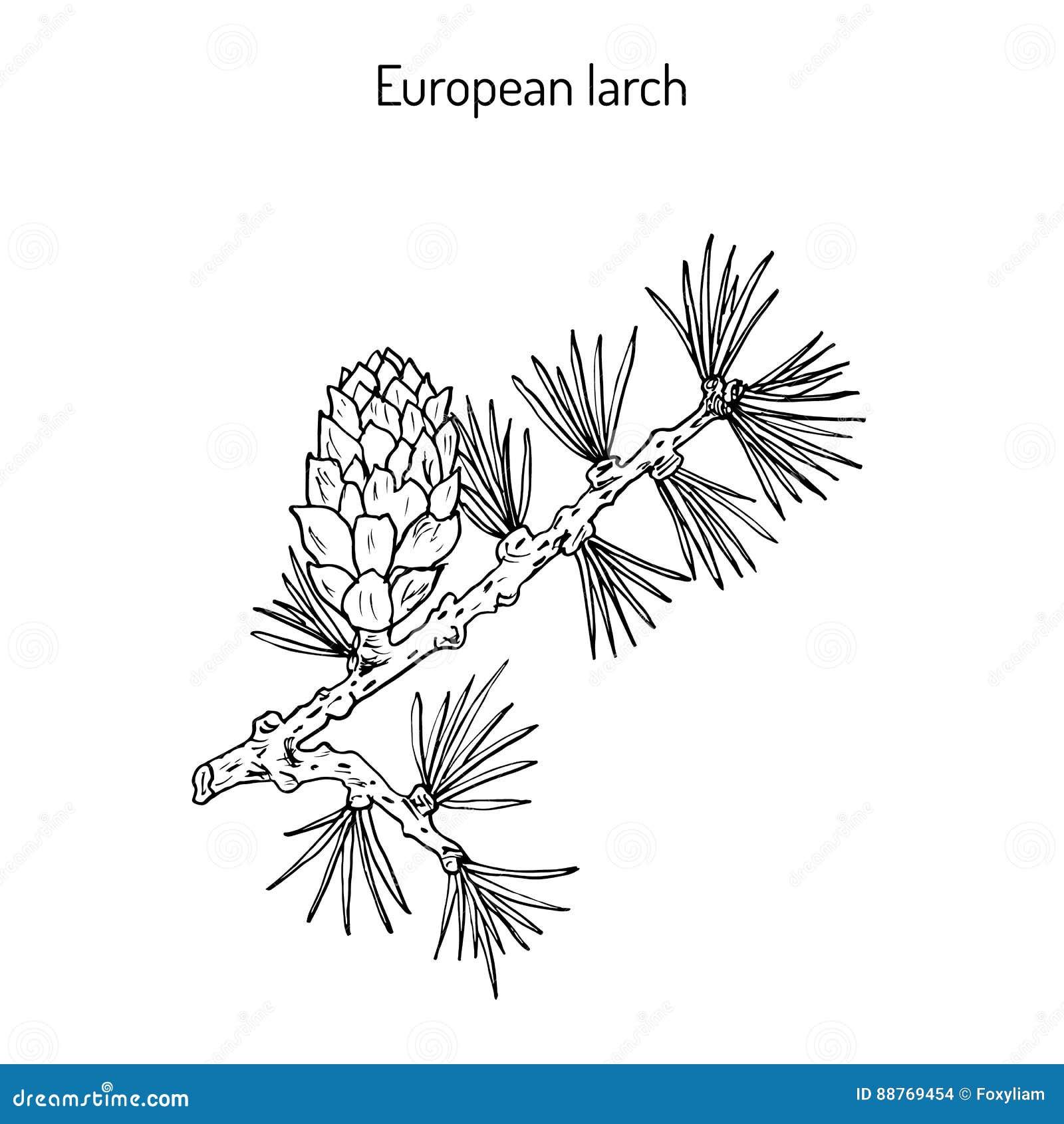 Cône et branche de mélèze
