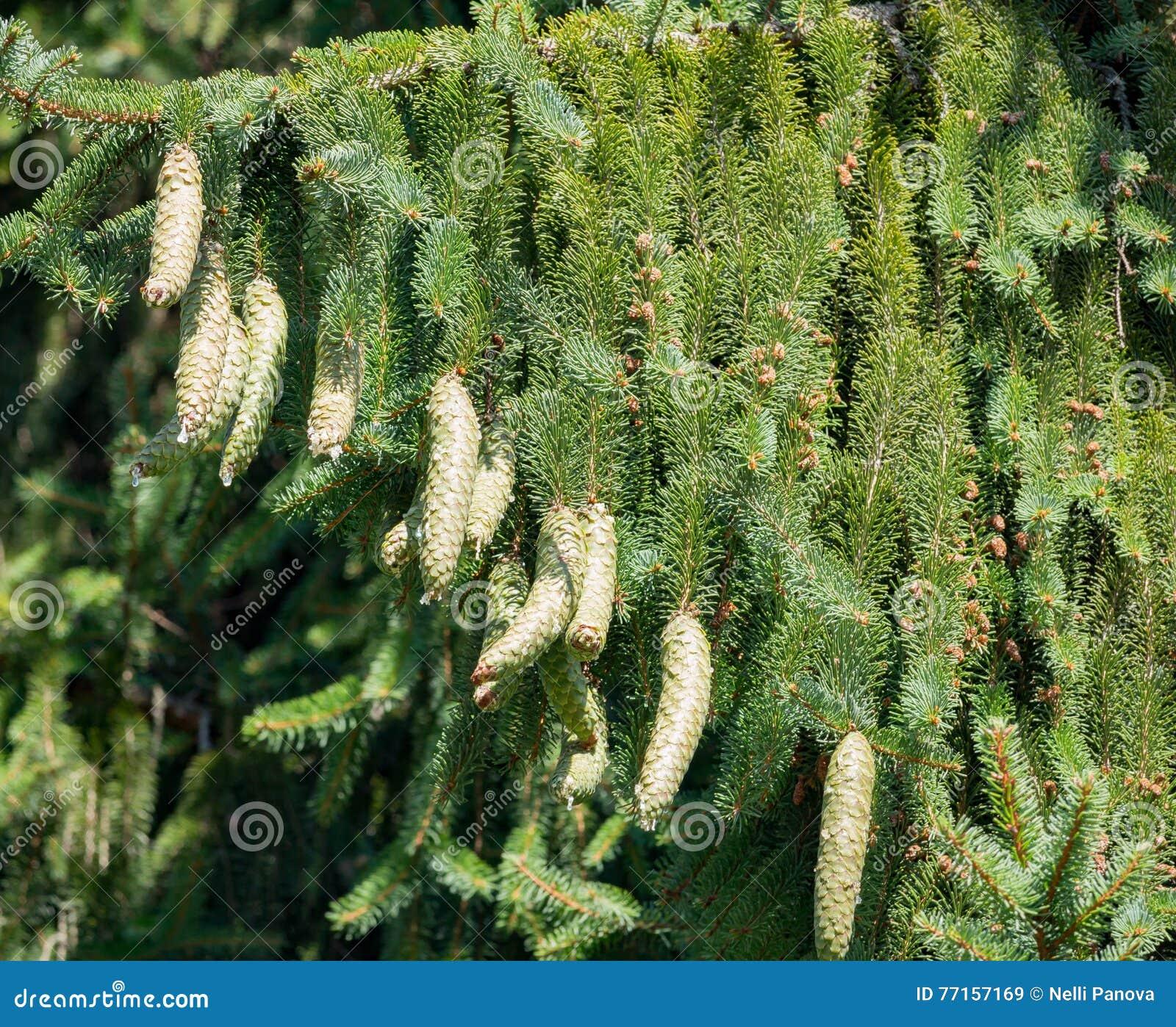 Cônes verts accrochant sur la branche de sapin