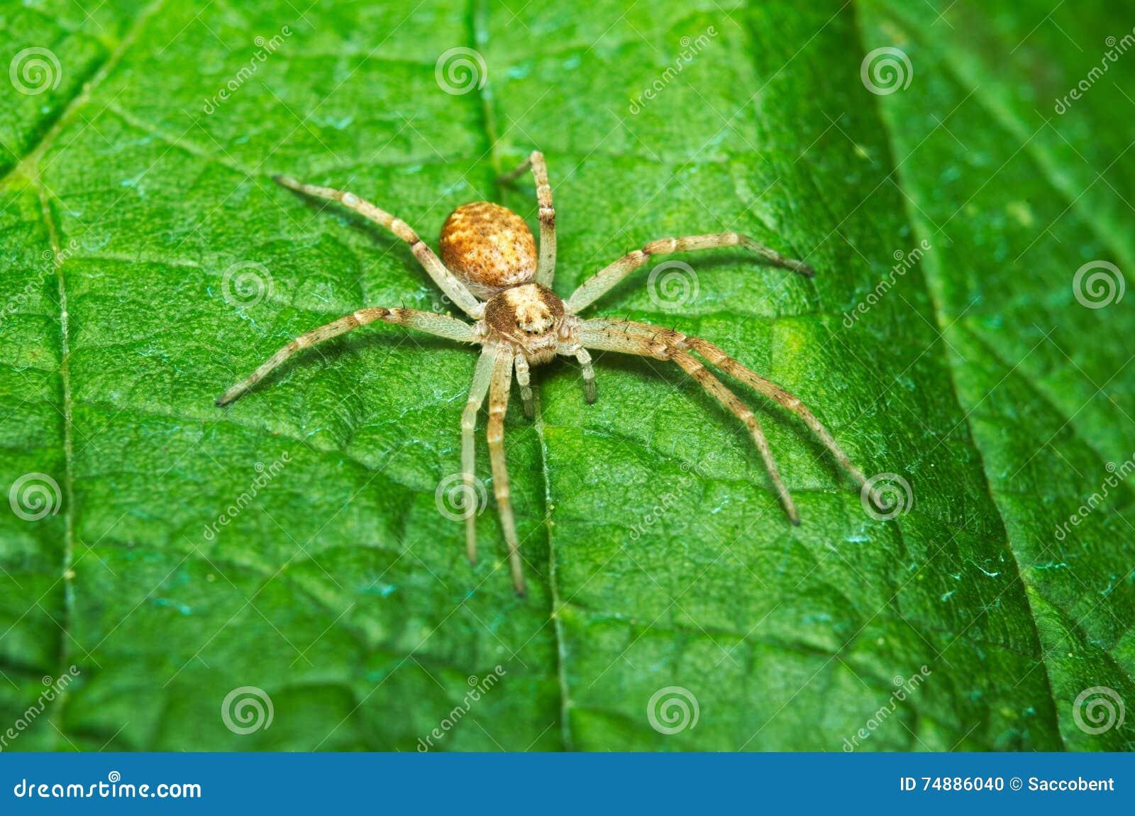 Caça da aranha em uma folha
