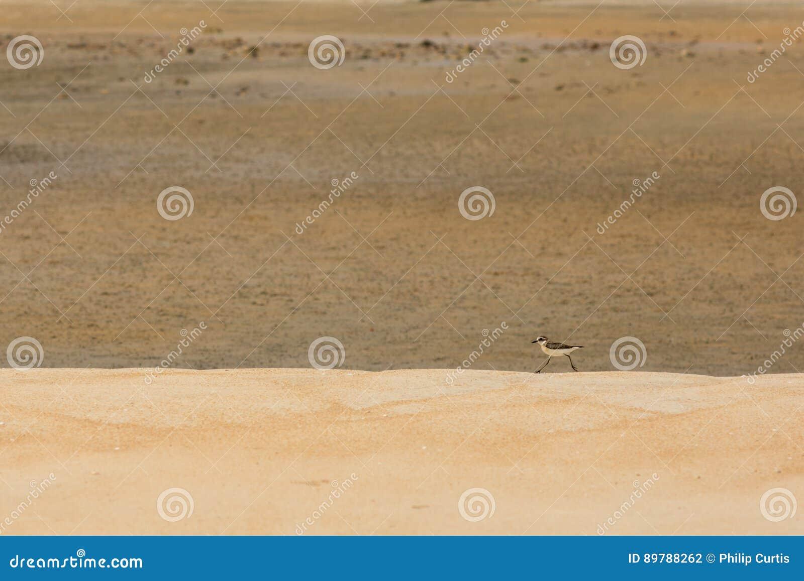 Caça do borrelho para o alimento em uma praia dourada da areia