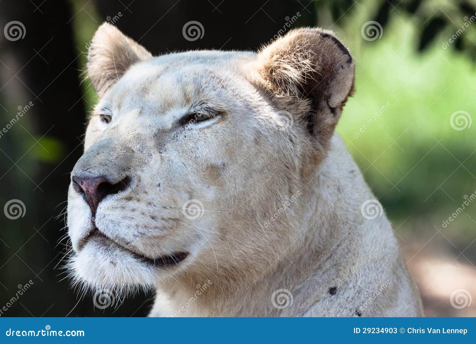 Download Caçador branco da leoa imagem de stock. Imagem de predator - 29234903