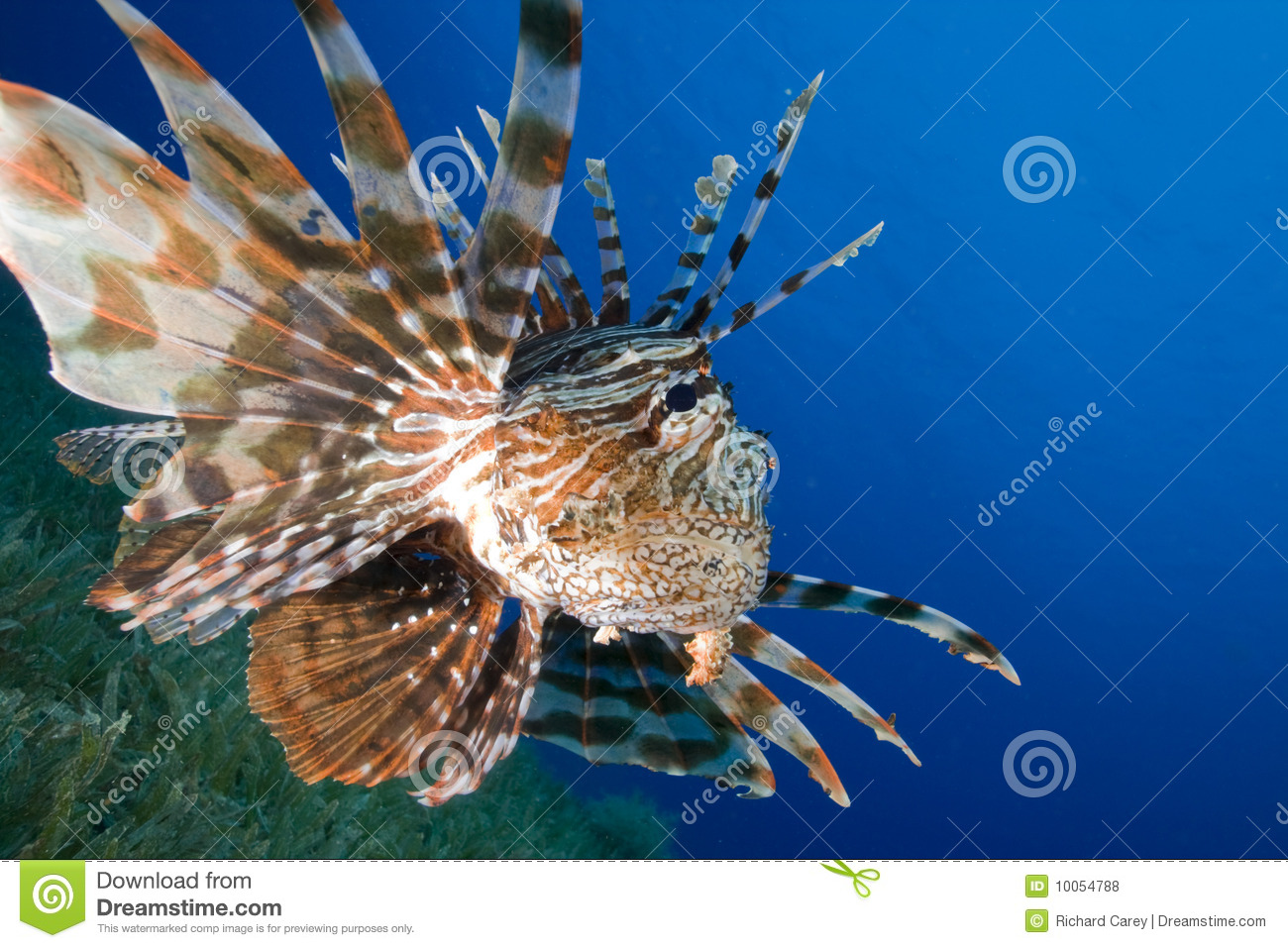 Caças do Lionfish sobre o seagrasse