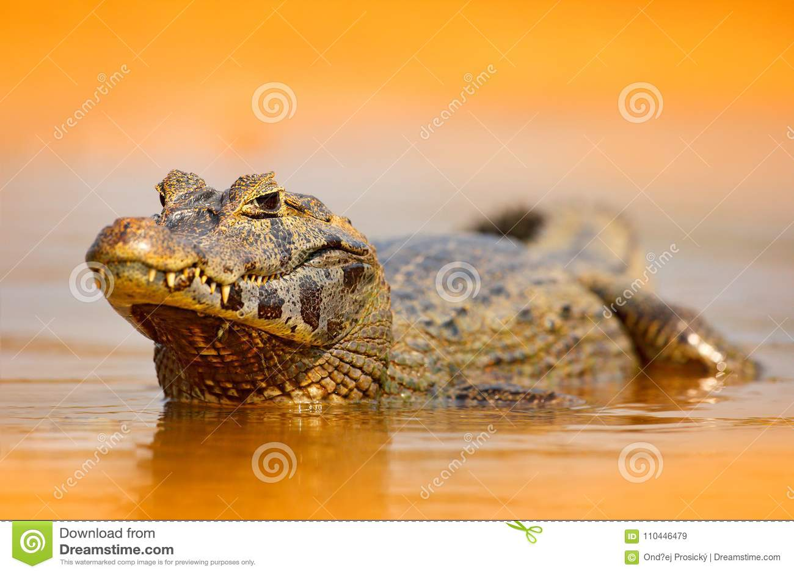 Caïman de Yacare, crocodile d or dans la surface orange-foncé de l eau de soirée avec le soleil, habitat de rivière de nature, Pa