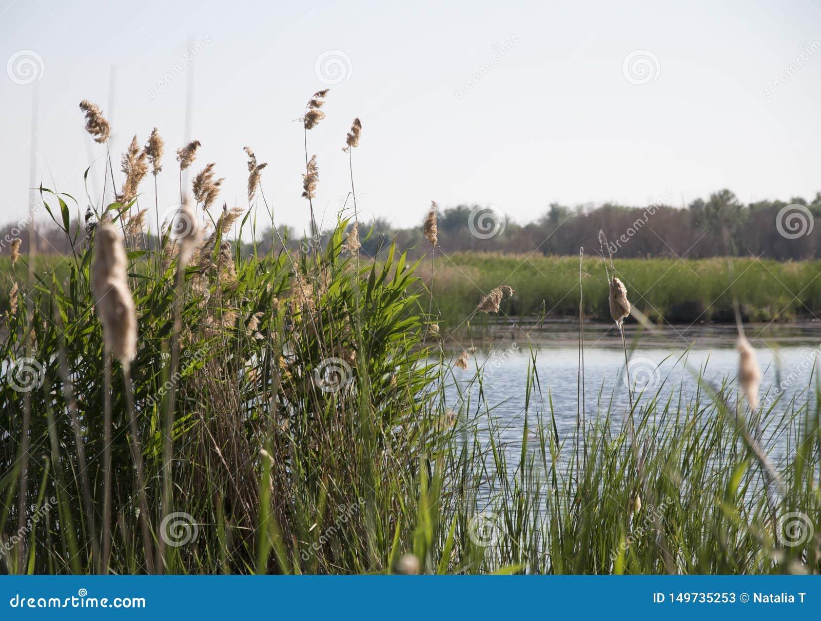Cañas en la orilla del río, en un día de verano