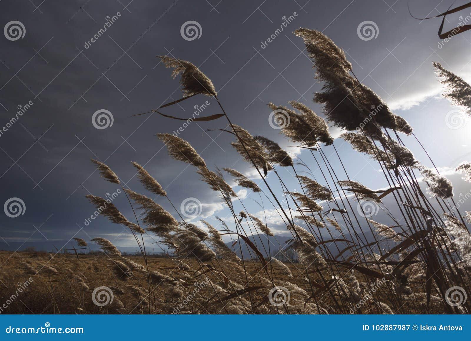 Cañas, espadaña, contra el cielo nublado Autumn Landscape