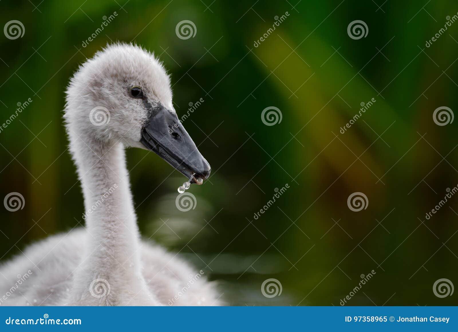 Cañas verde oscuro del ion mullido del pollo del cisne
