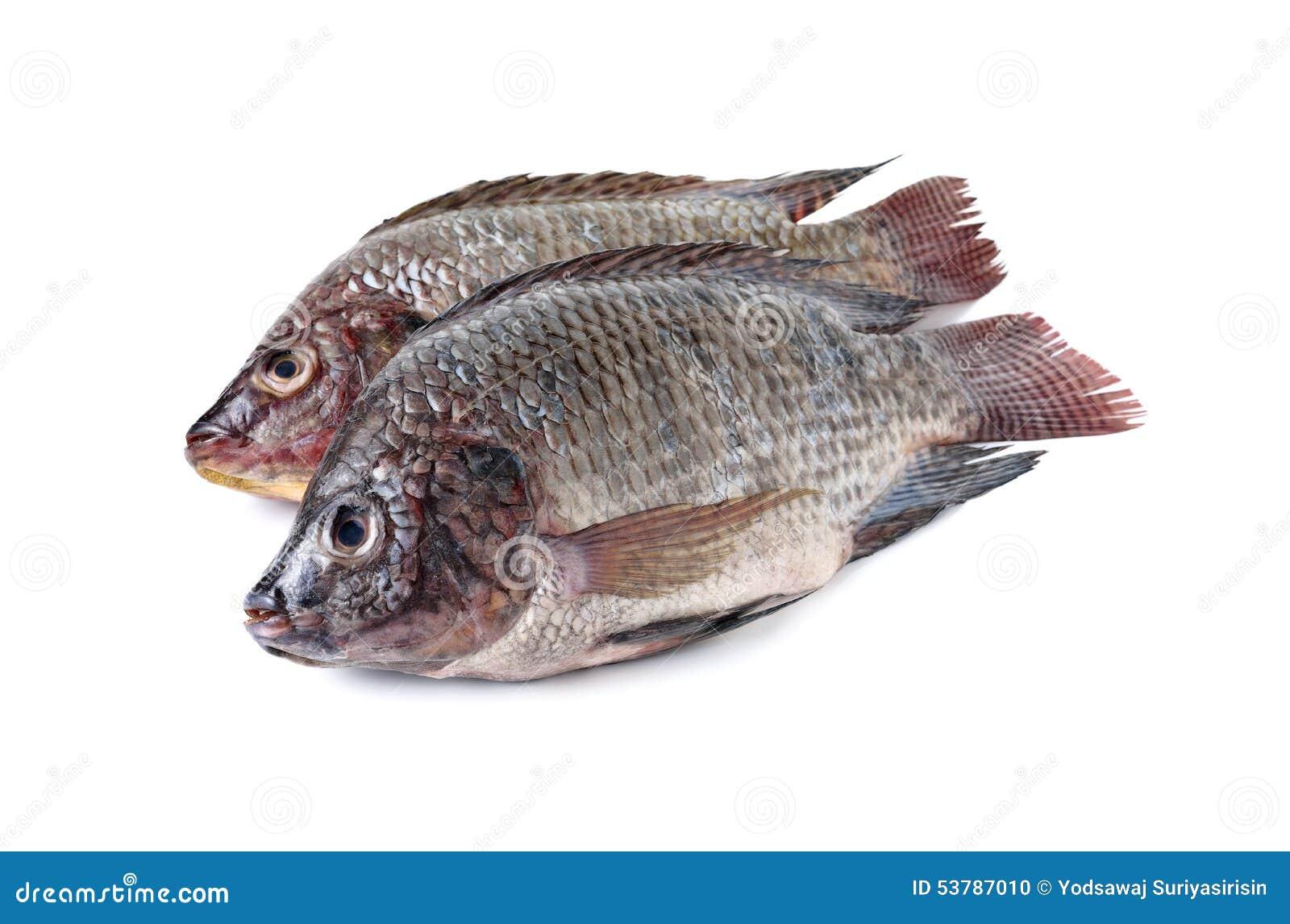 Cała round świeża Tilapia ryba na bielu