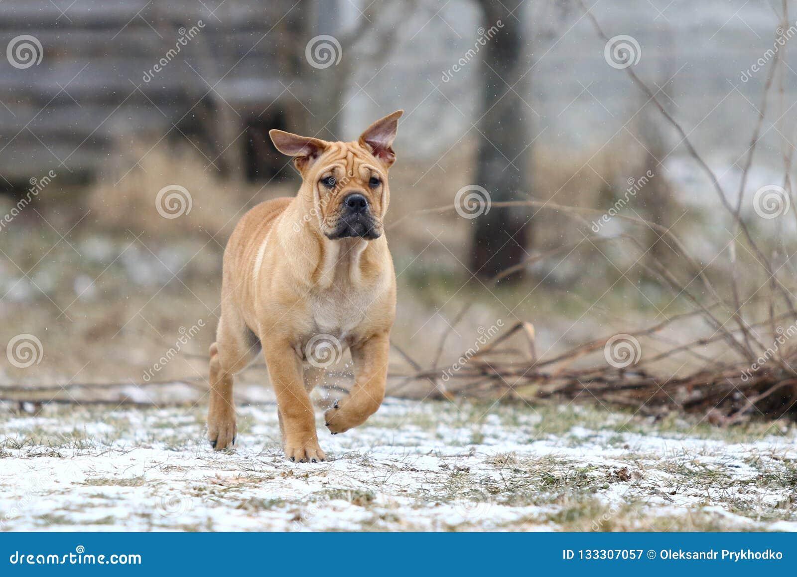 Ca de Bou Mallorquin Mastiff puppy dog