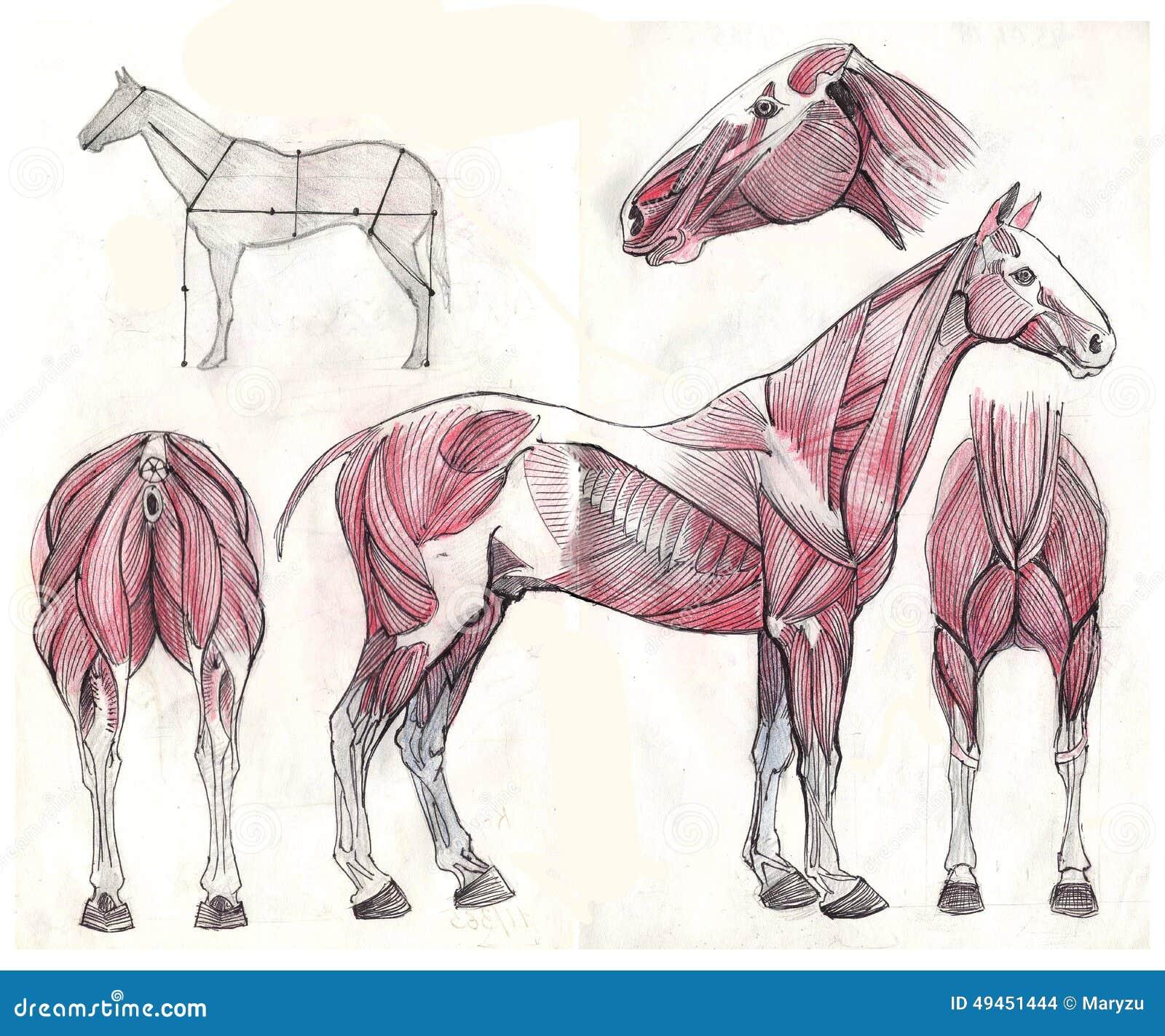 Vistoso Anatomía Caballo 3d Festooning - Anatomía de Las Imágenesdel ...