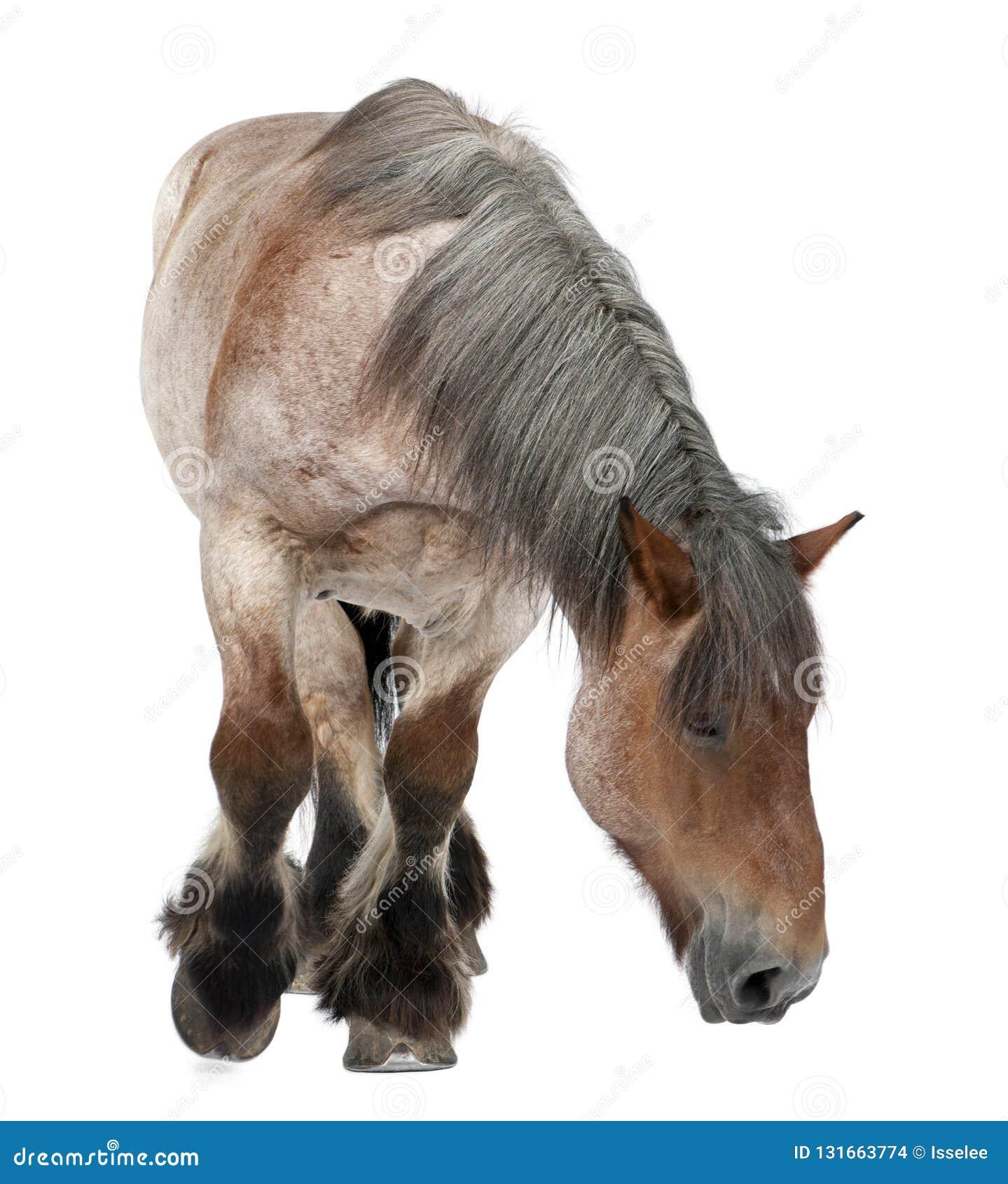 Caballo belga, caballo pesado belga, Brabancon, una raza del caballo de proyecto, 16 años