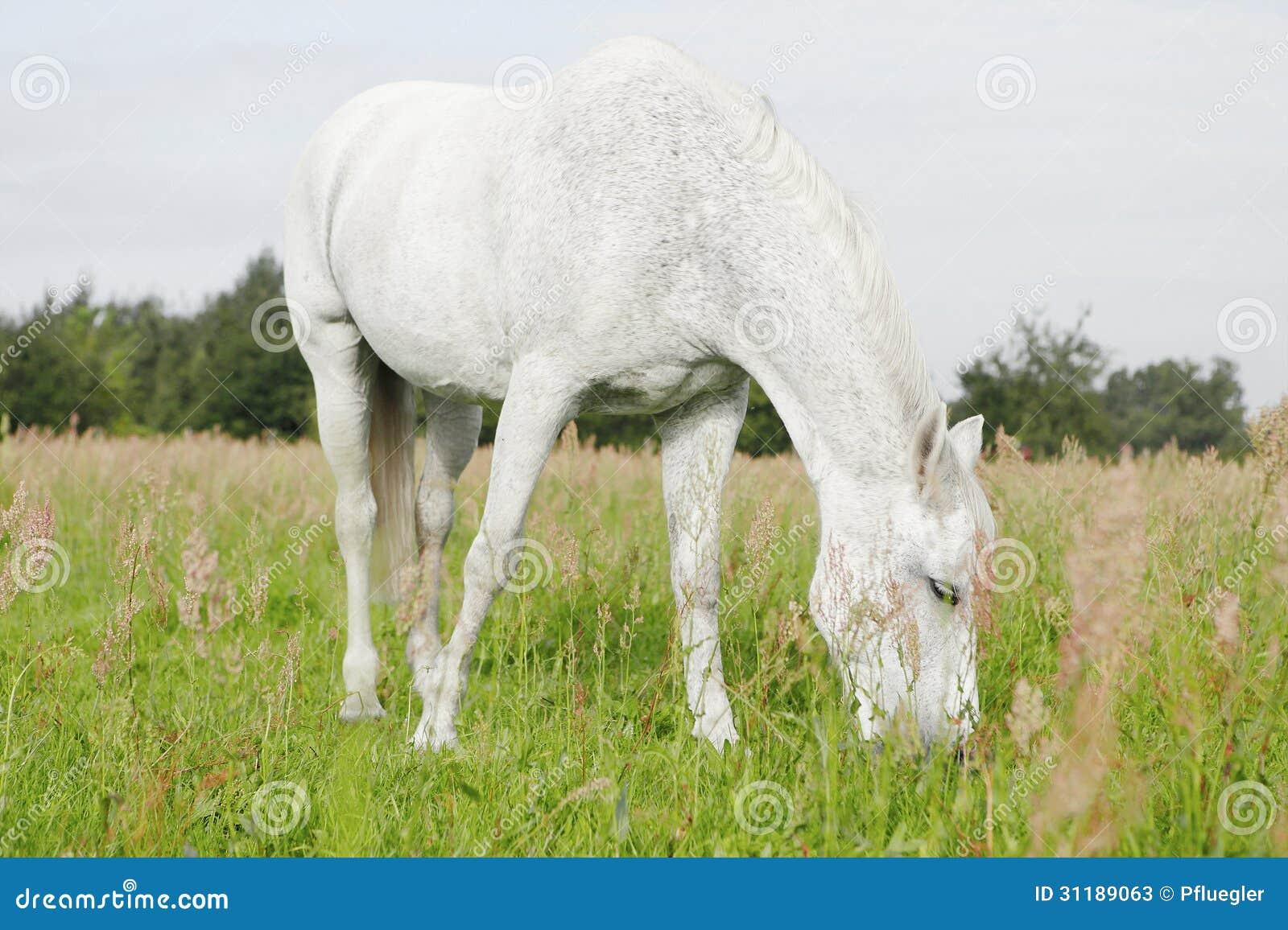 Caballo blanco en los campos