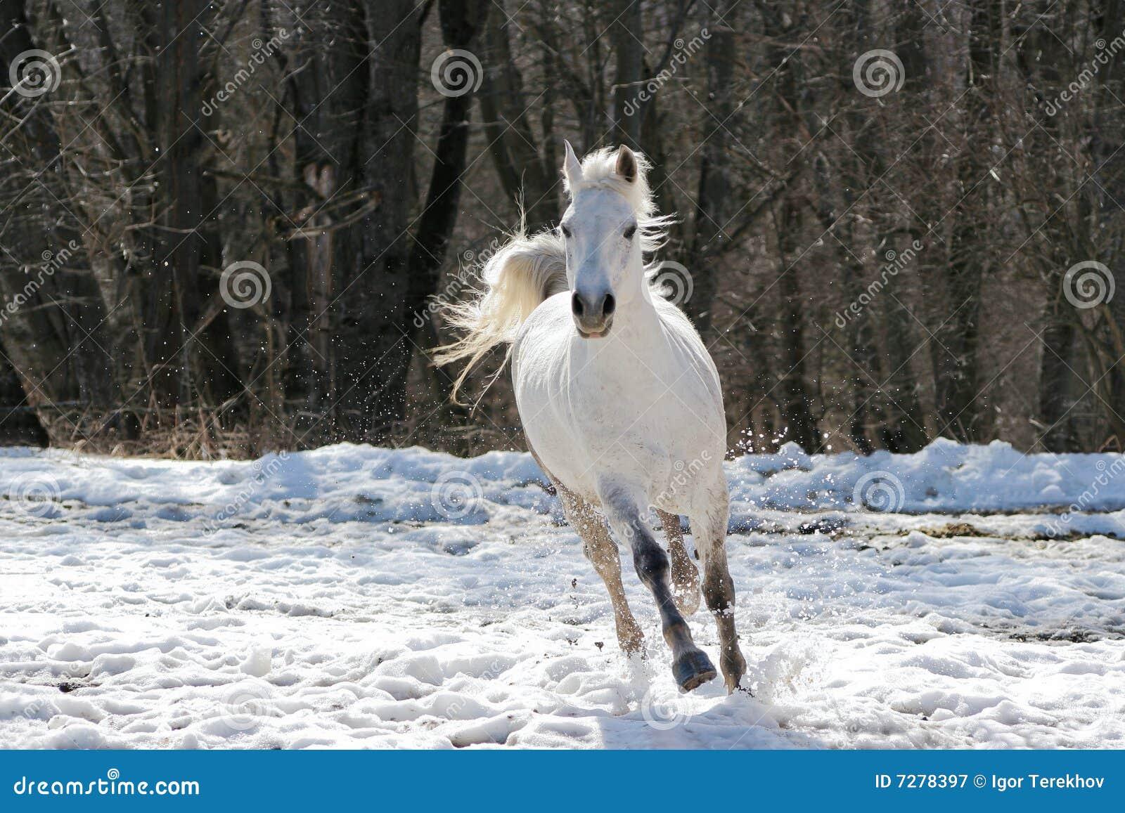 Caballo blanco que salta