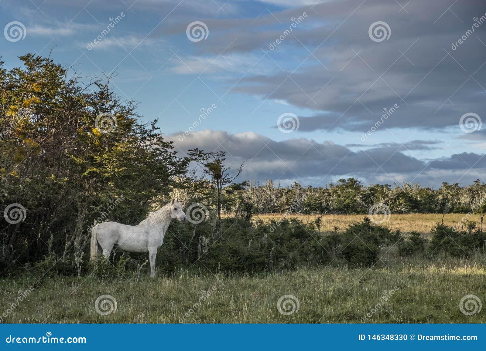 Caballo blanco solamente en el medio del campo