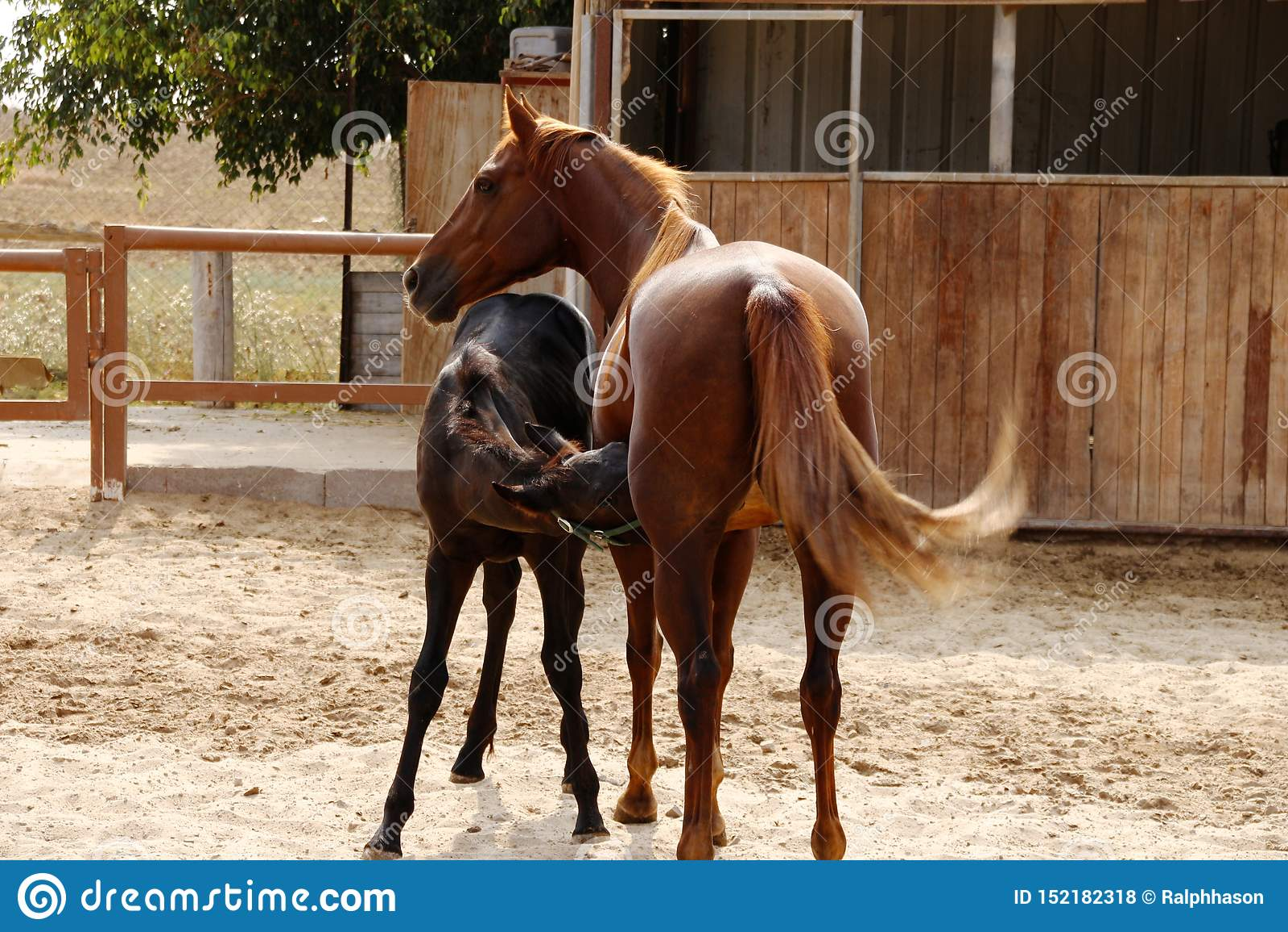 Caballo de la mamá y potro del bebé