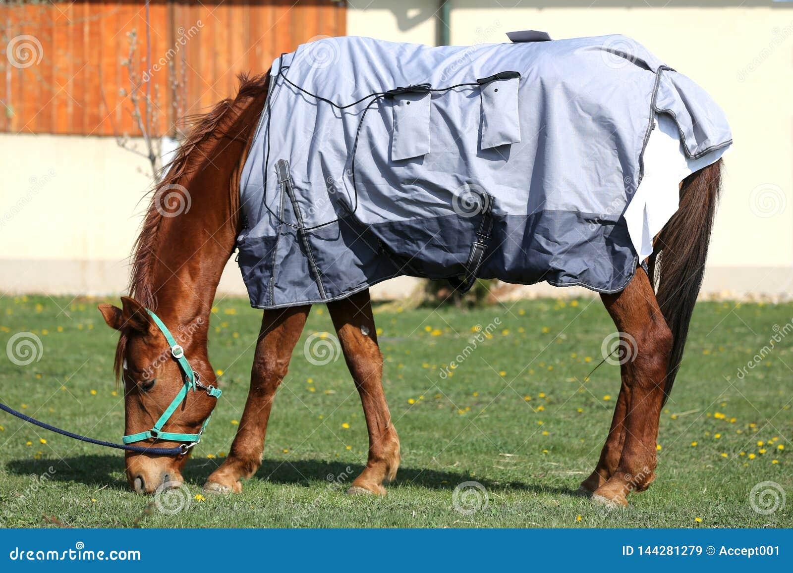 Caballo joven que pasta en la nueva manta magnética en el rancho rural