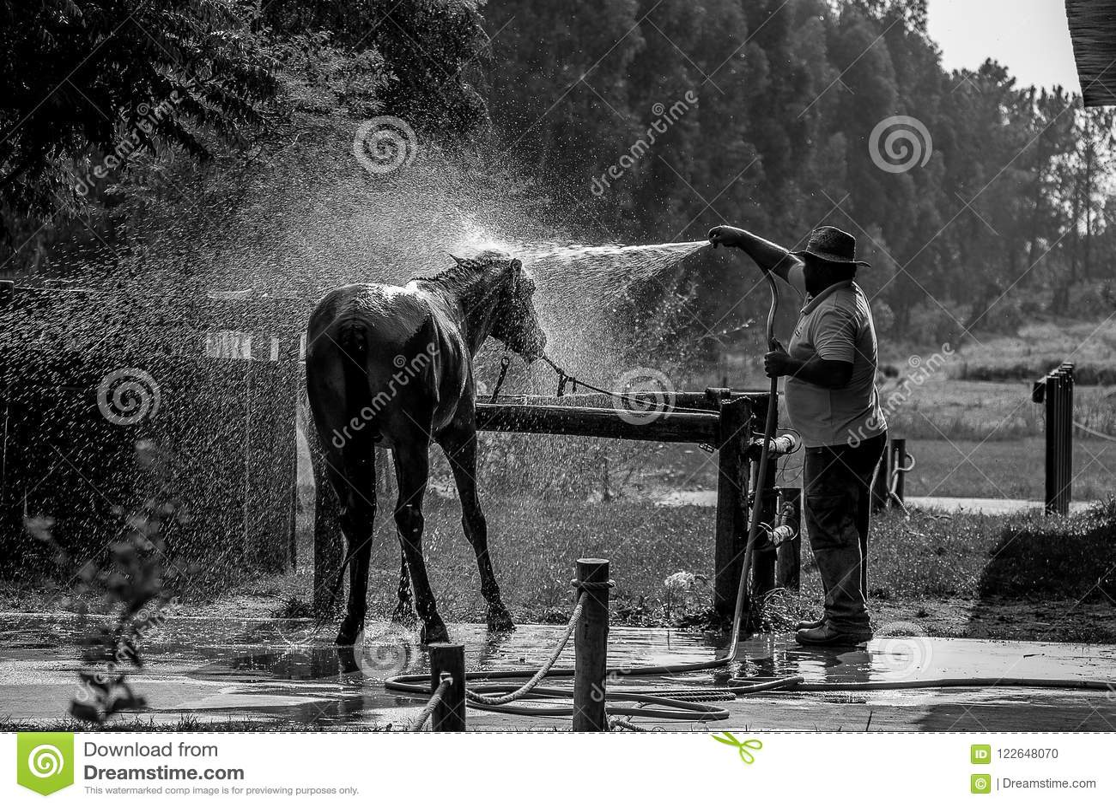 Caballo negro que toma un baño en un rancho
