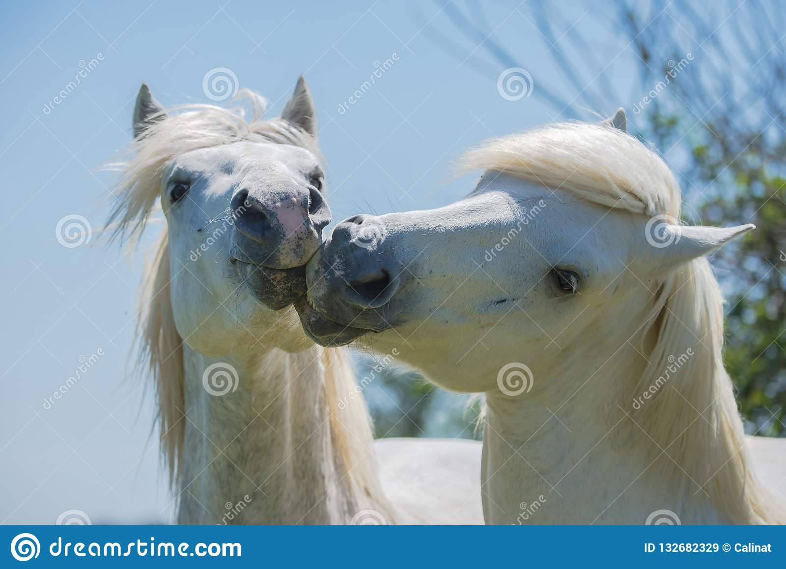 Caballos blancos imagen de archivo. Imagen de manada - 132682329