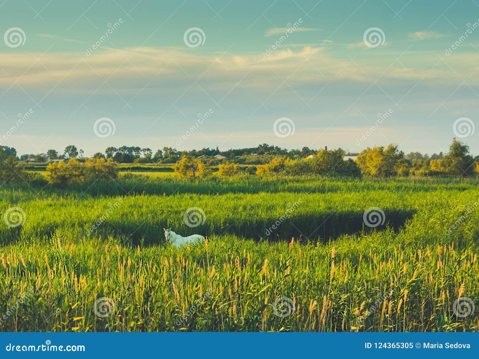 Caballos de Camargue que pastan en alta hierba