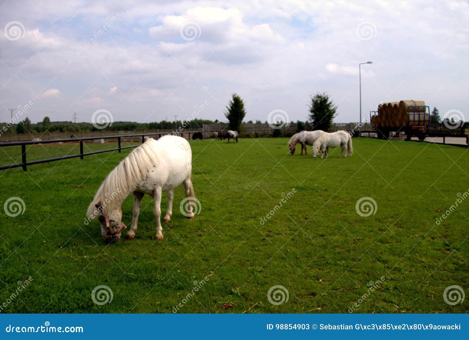 Caballos en el prado