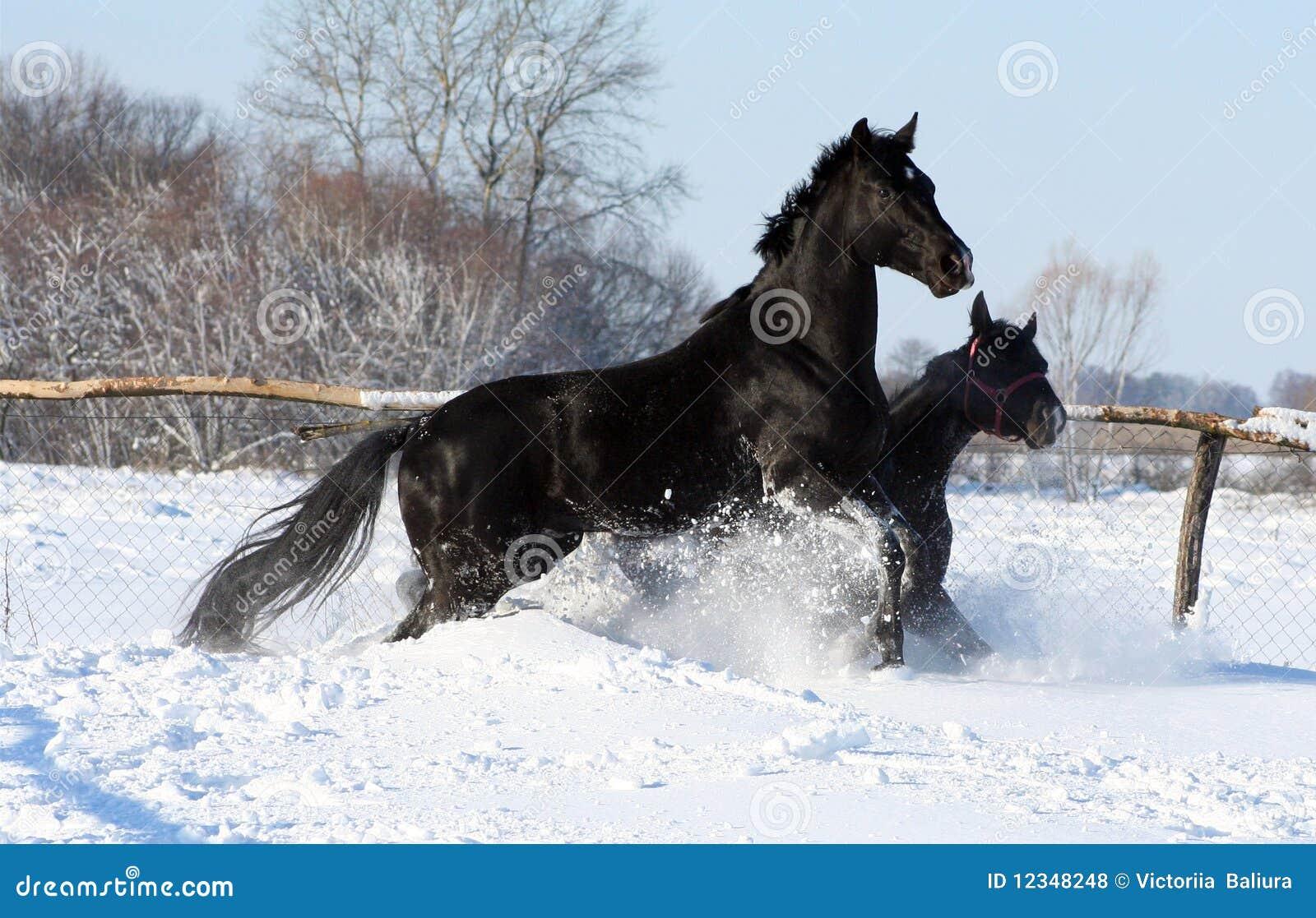 Los caballos en la nieve dos semental negro en la libertad caballos