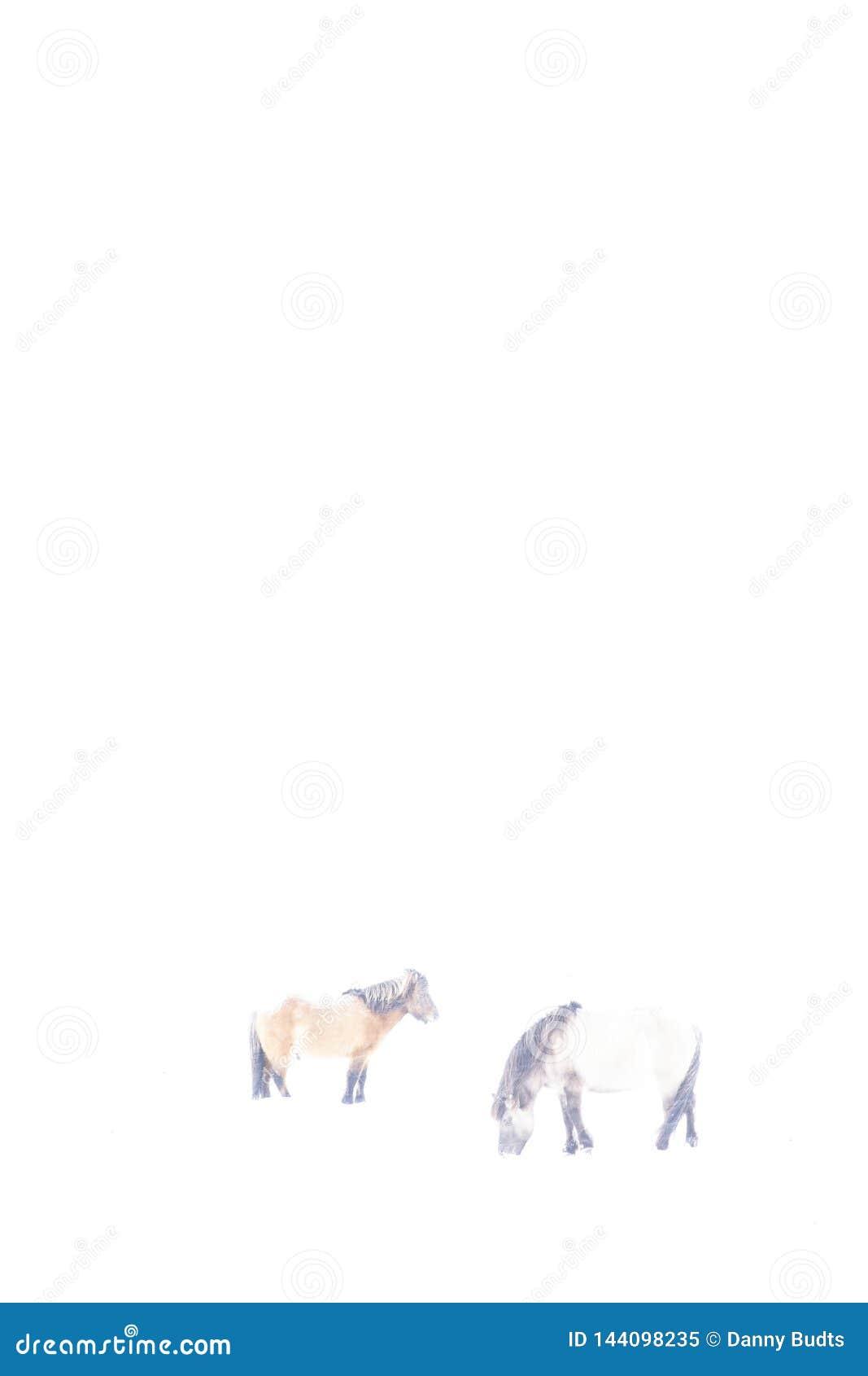 Caballos islandeses en el invierno, fotografiado en hikey