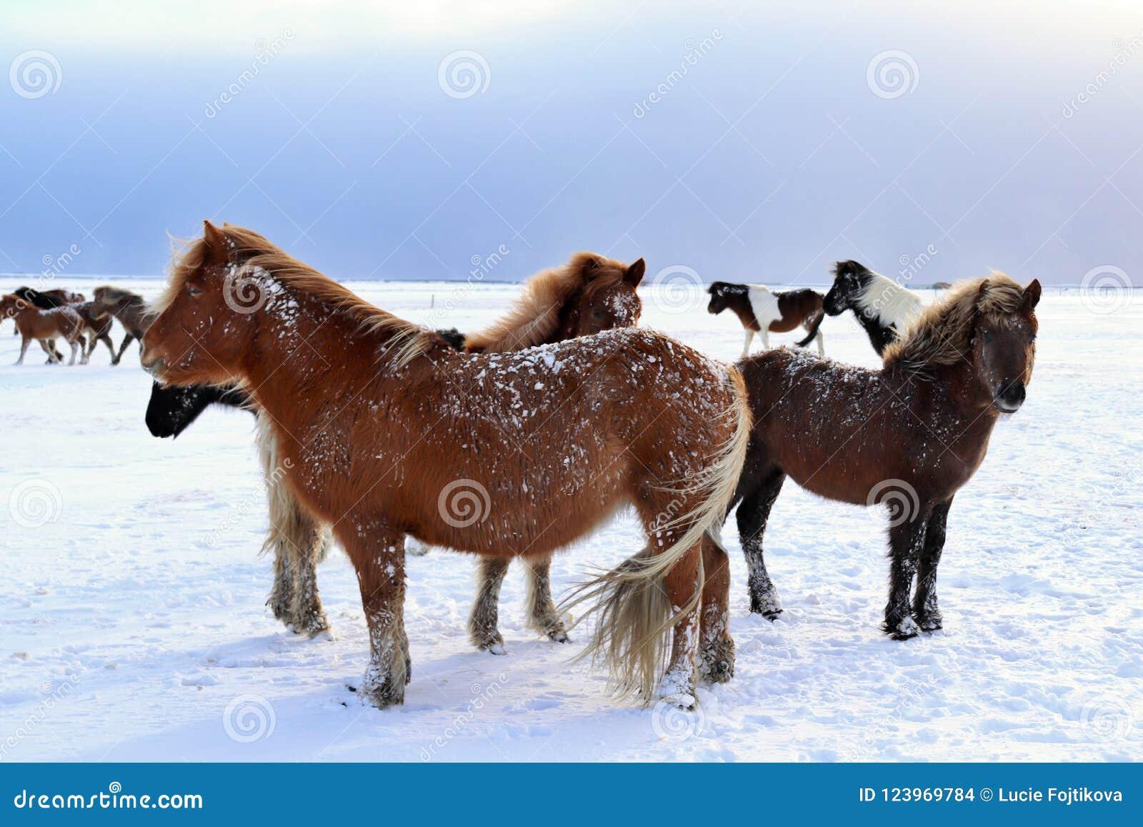 Caballos islandeses en invierno