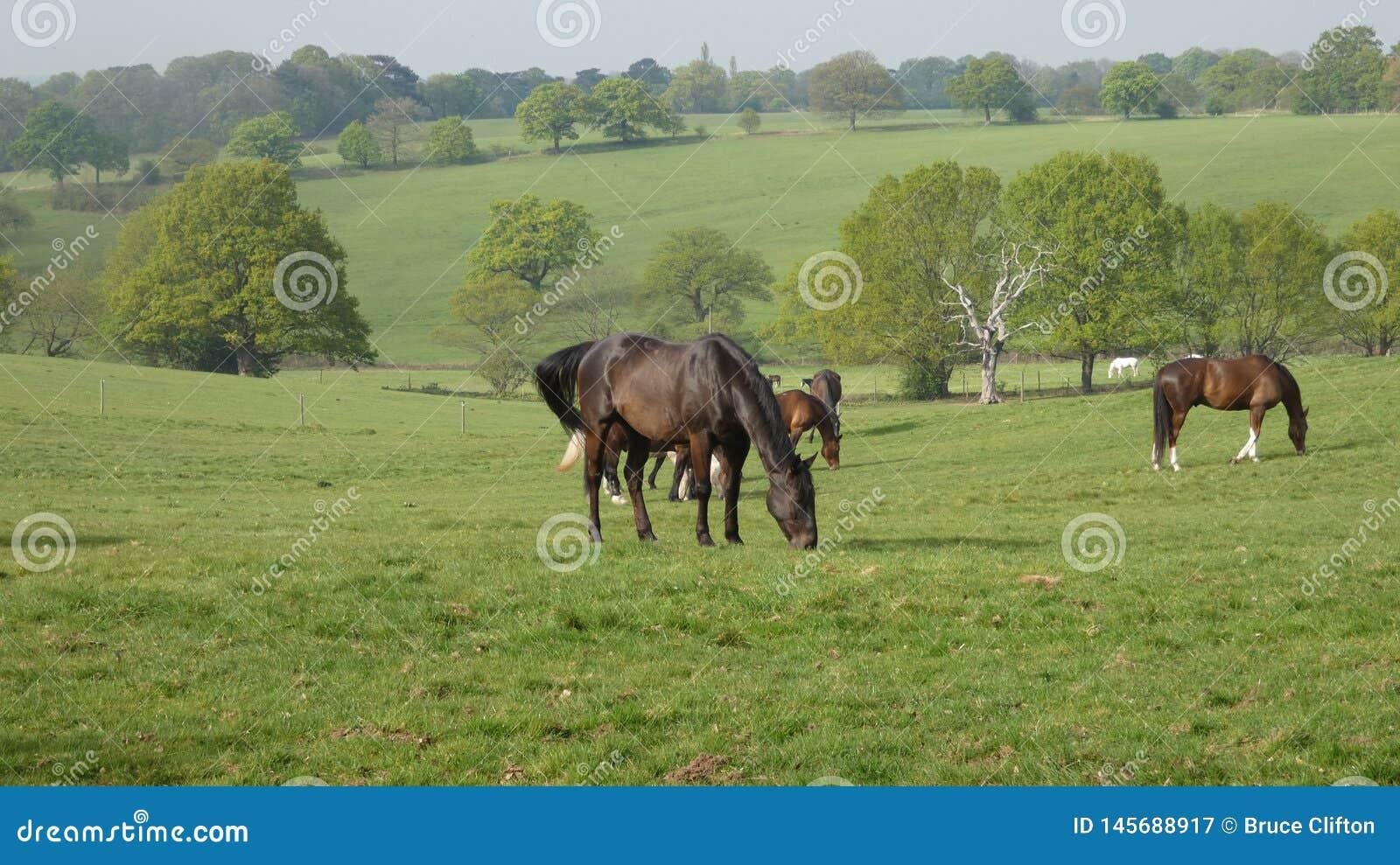 Caballos que pastan en el prado