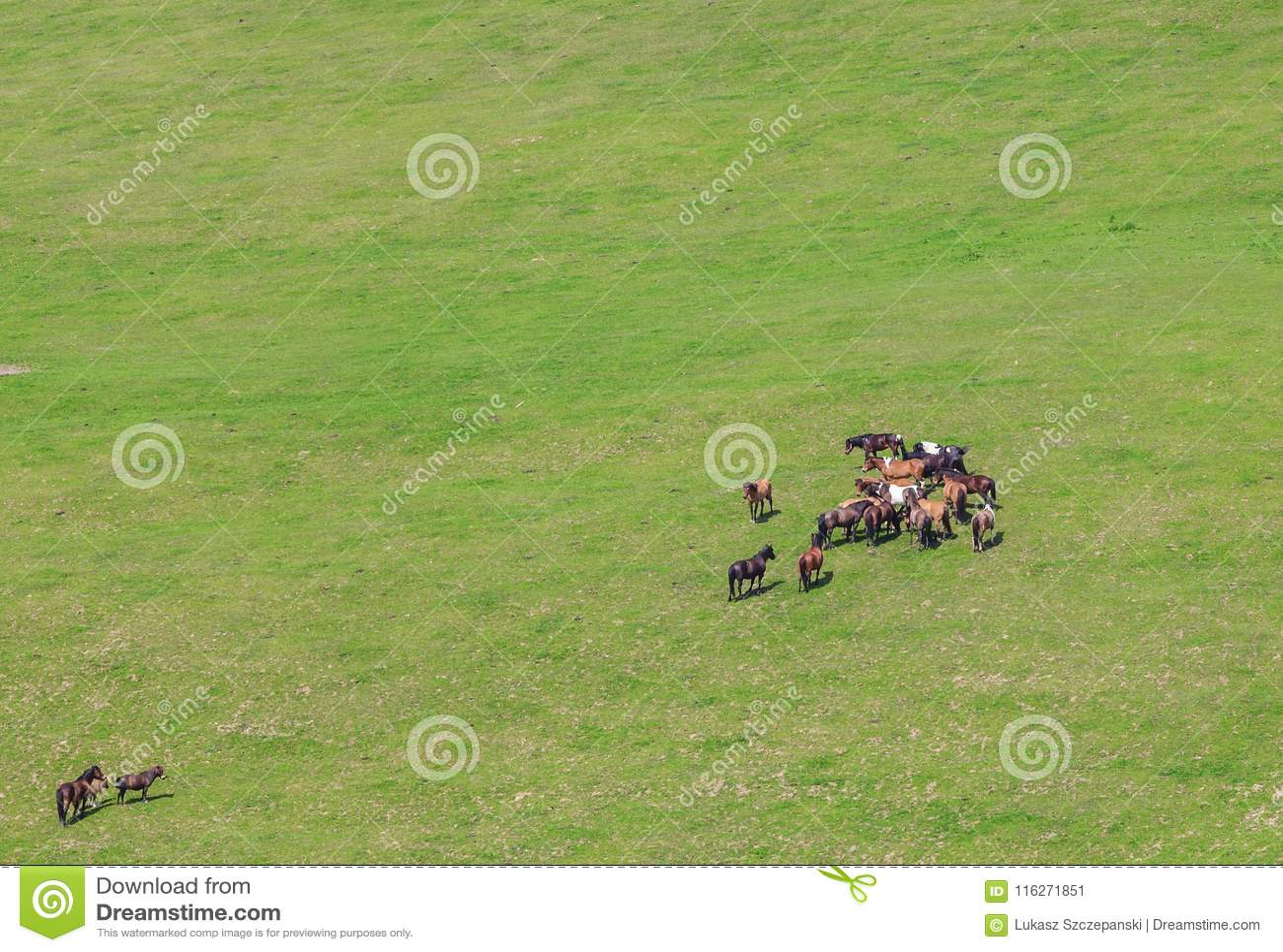 Caballos que pastan en pasto verde