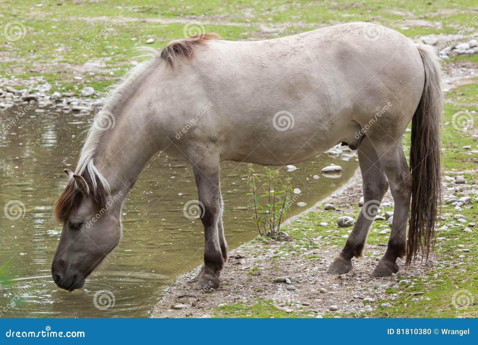 Caballus ferus Equus лошади щеколд