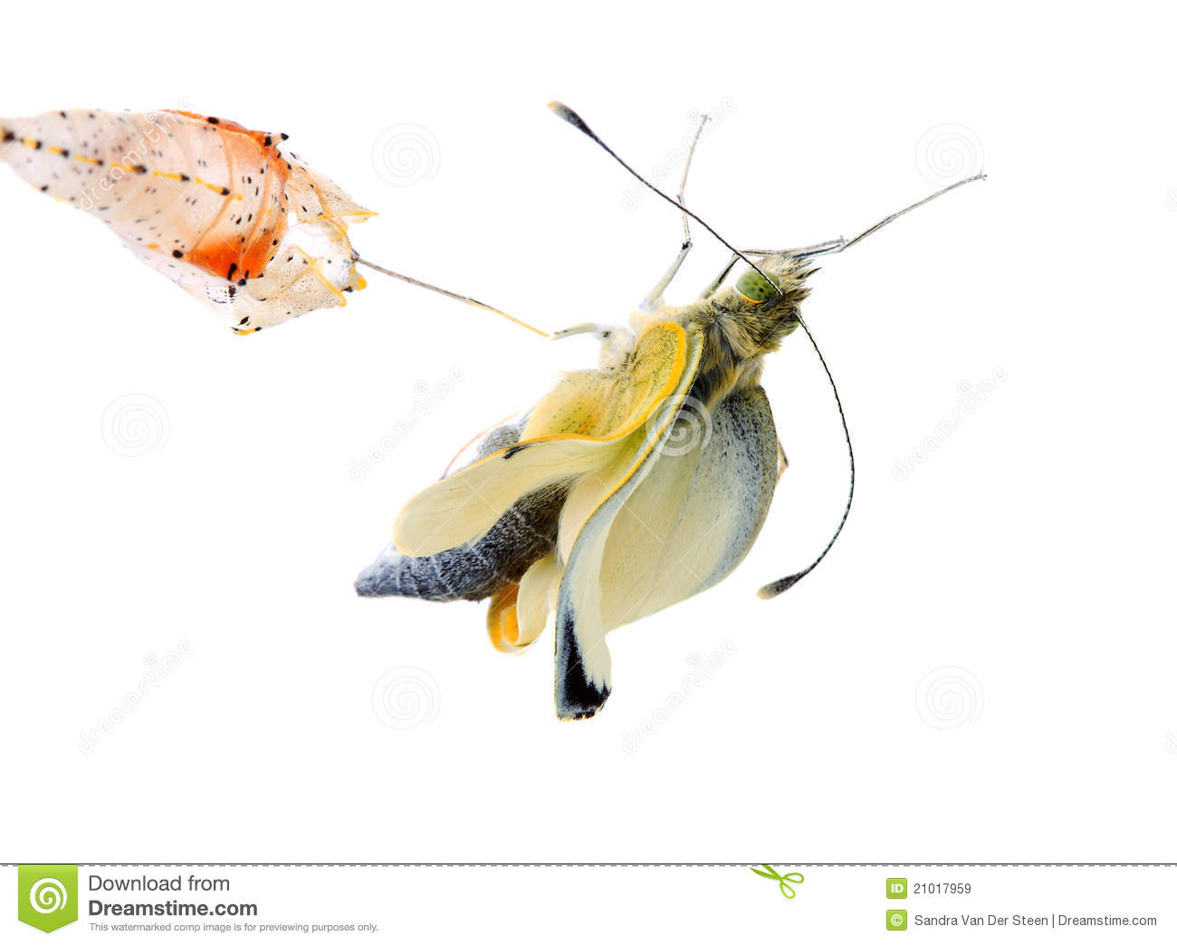 Cabbage Butterfly Coming Out Of Cocoon Royalty Free Stock
