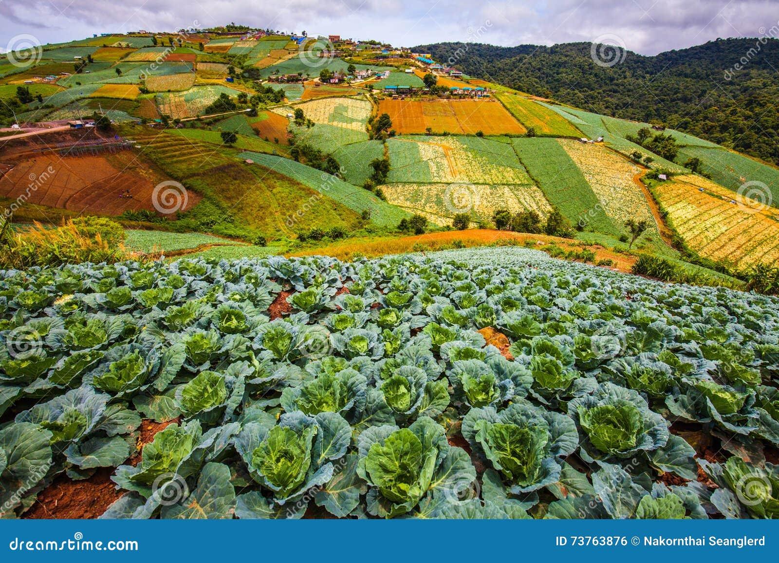 Cabbage convert