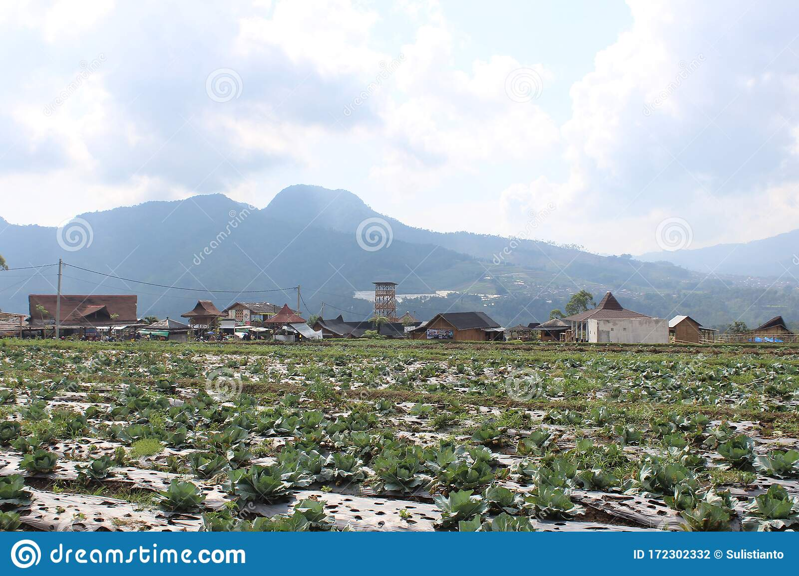 Cabbage Farming In The City Of Malang Indonesia Stock Photo Image Of Outdoor Dark 172302332