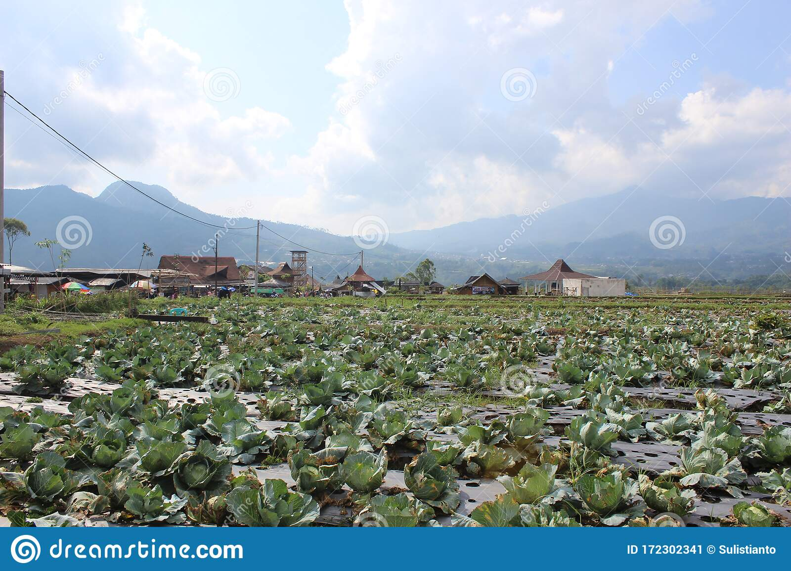 Cabbage Farming In The City Of Malang Indonesia Stock Image Image Of Nature Outdoor 172302341