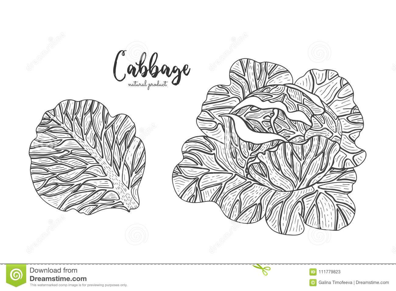 Cabbage hand drawn vector illustration. Isolated vegetable engraved style object. Detailed vegetarian food drawing. Farm