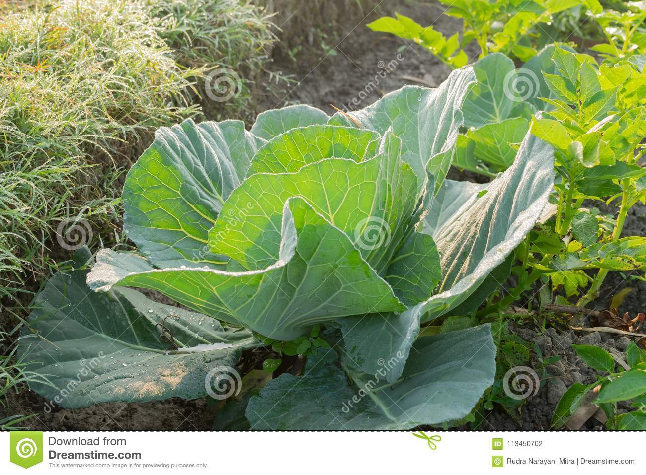 Cabbage Growing In Field, Rural Farming In West Bengal