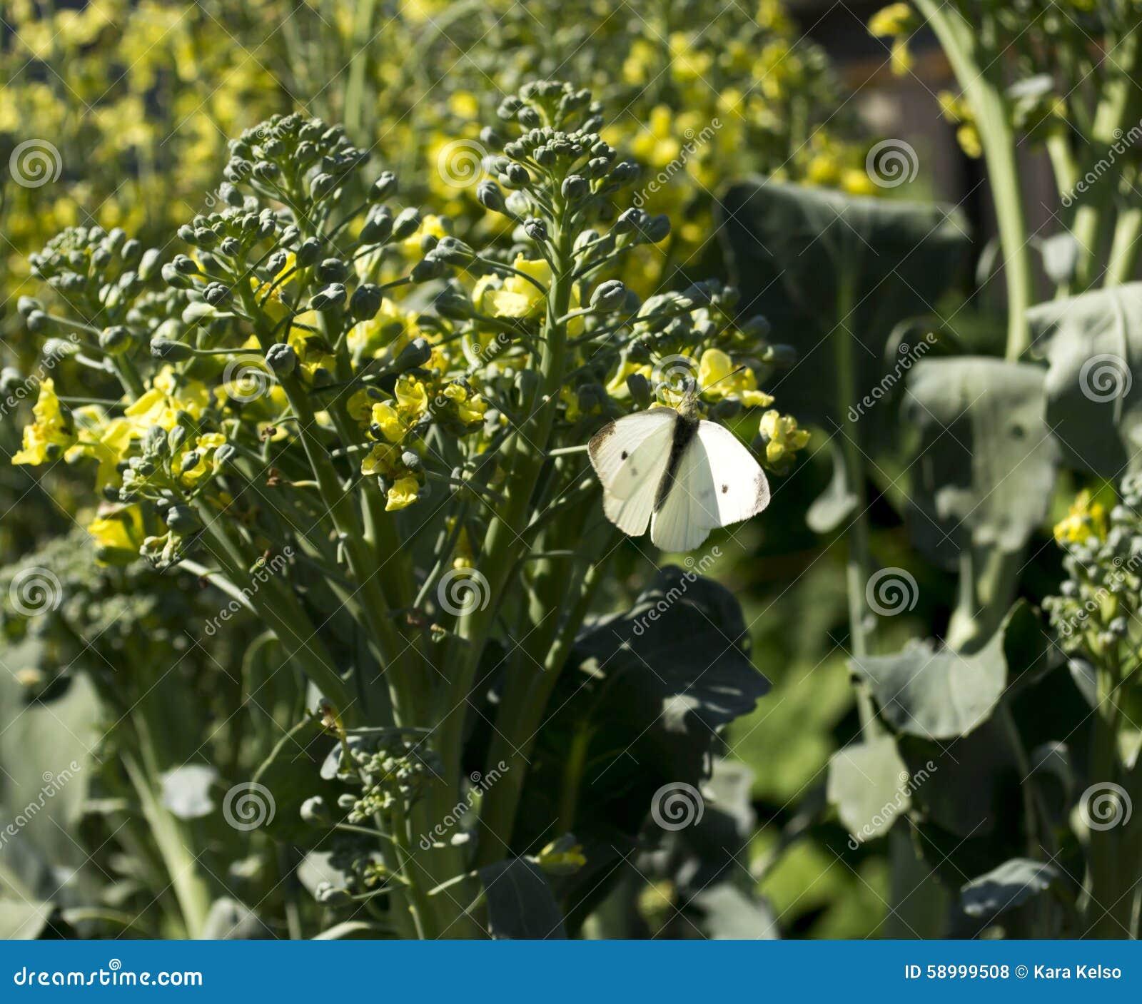 Cabbage Moth On Flowering Broccoli Stalk Stock Photo Image Of