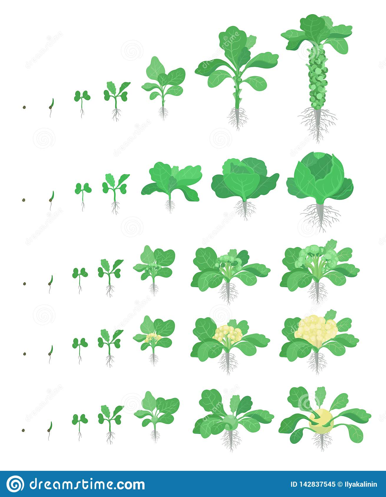 Cabbage Set. Brussels Sprout, Broccoli Kohlrabi ...