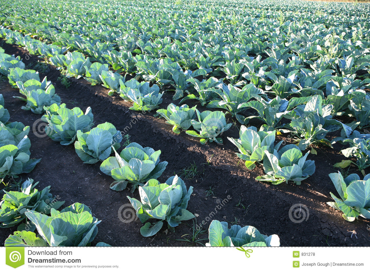 Cabbage Vegetable Field Farm