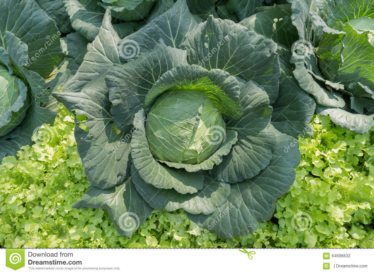 Download Cabbage In The Vegetable Garden Top View Stock Photo