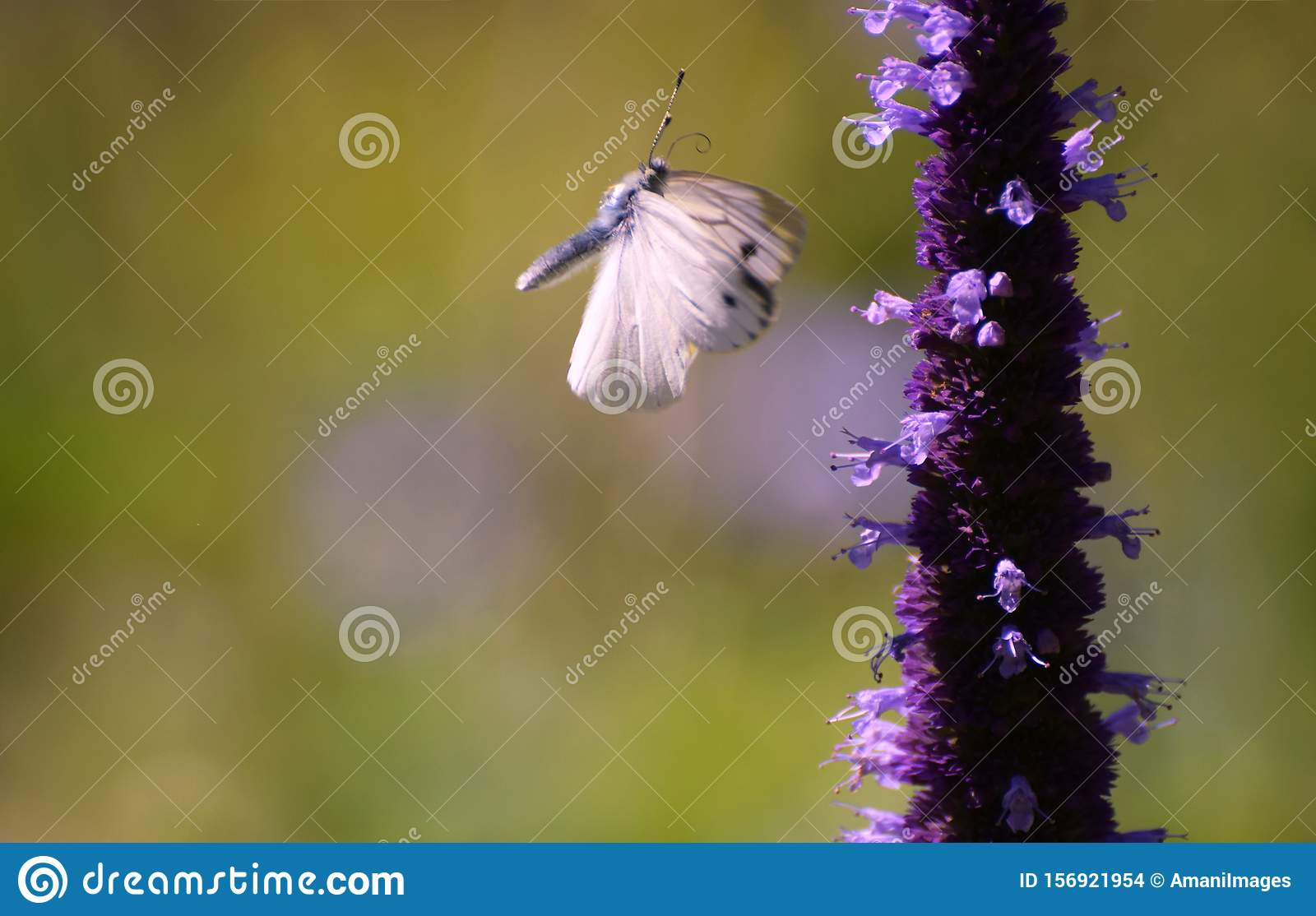Cabbage white butterfly in flight with wings in motion