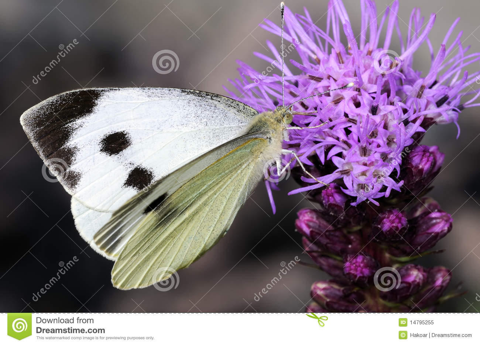 Cabbage white, pieris brassicae
