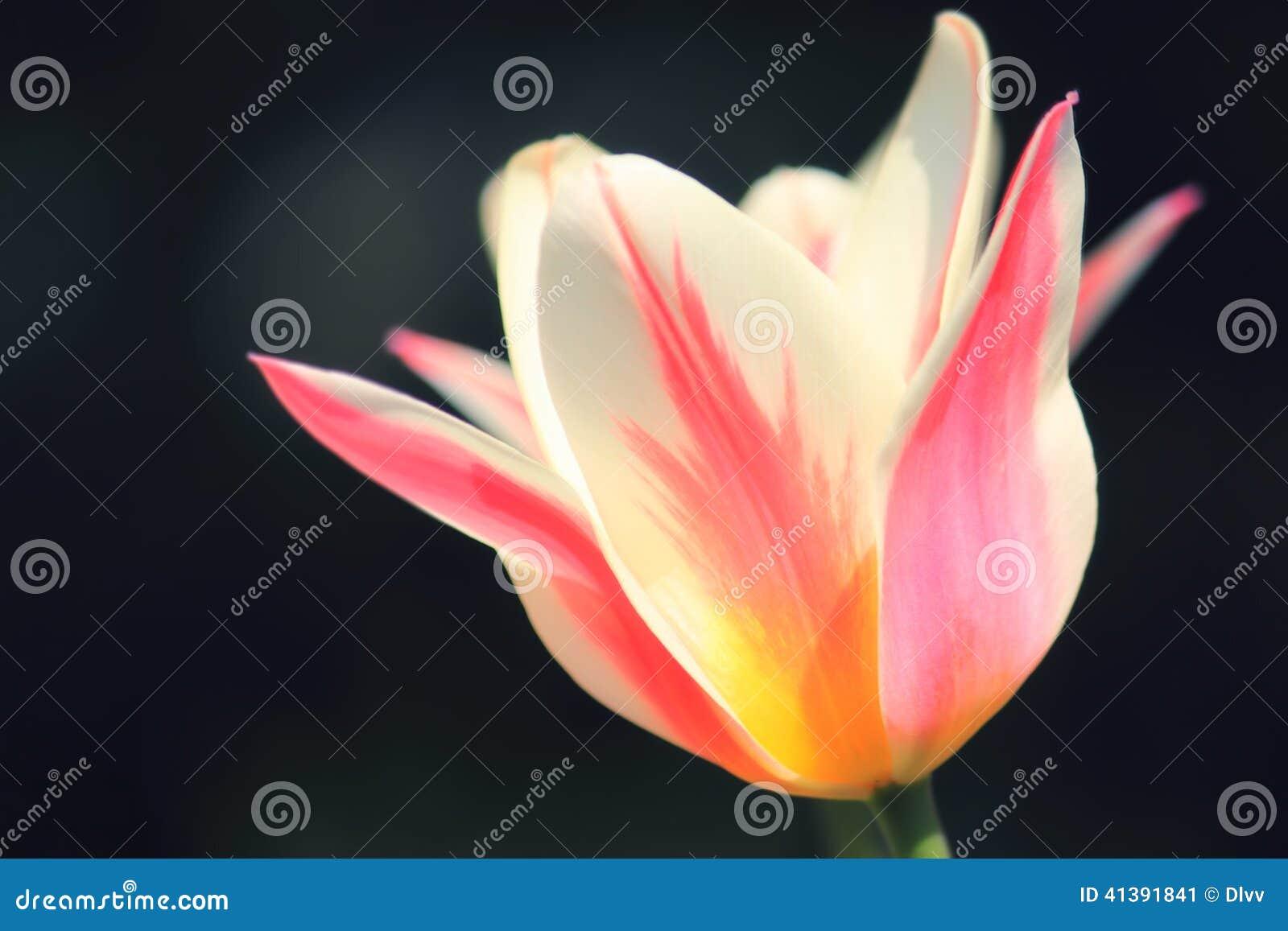 Cabeça cor-de-rosa e branca do foco macio ensolarado de Marilyn da tulipa de flor