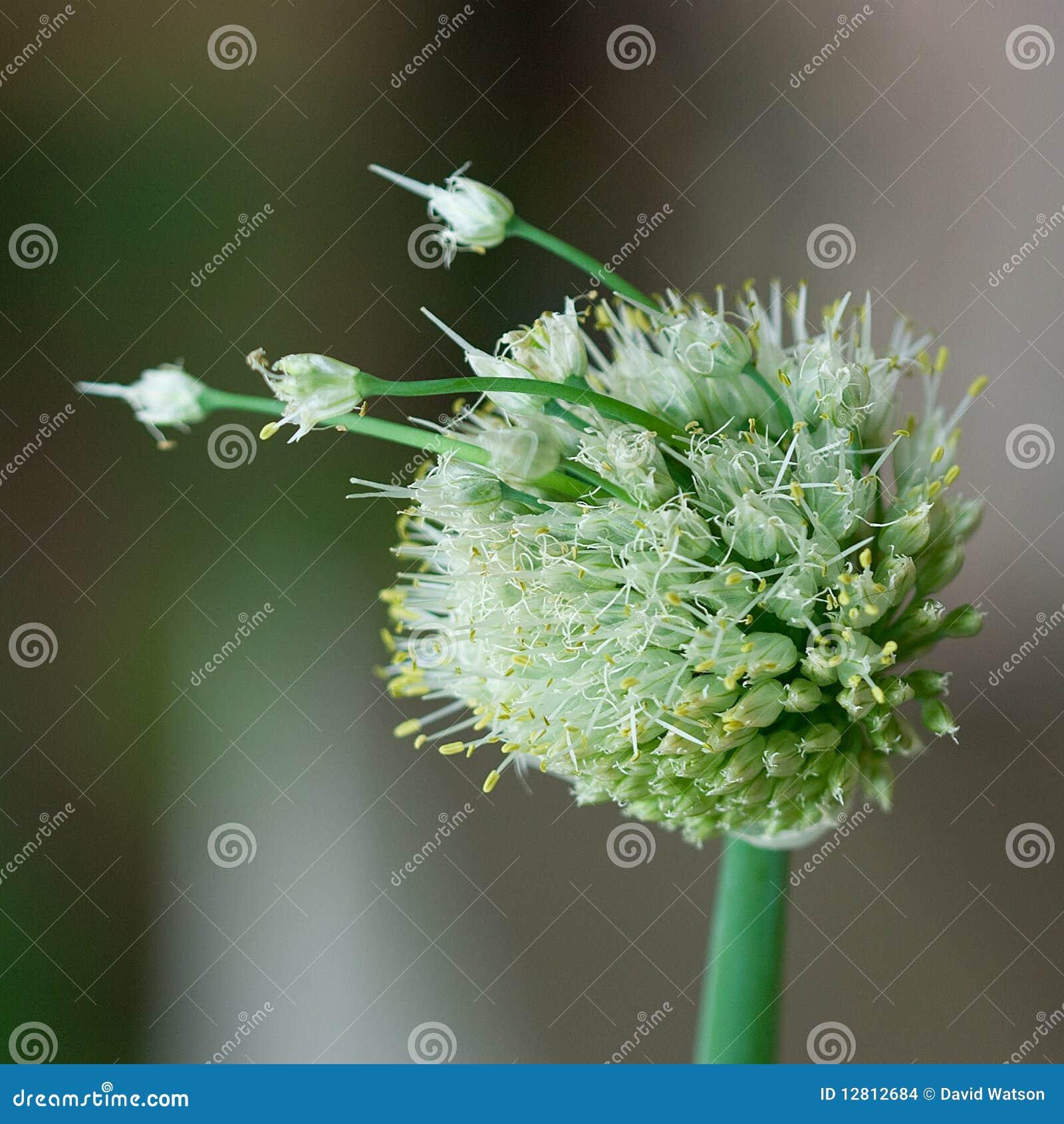 Cabeça da semente da cebola
