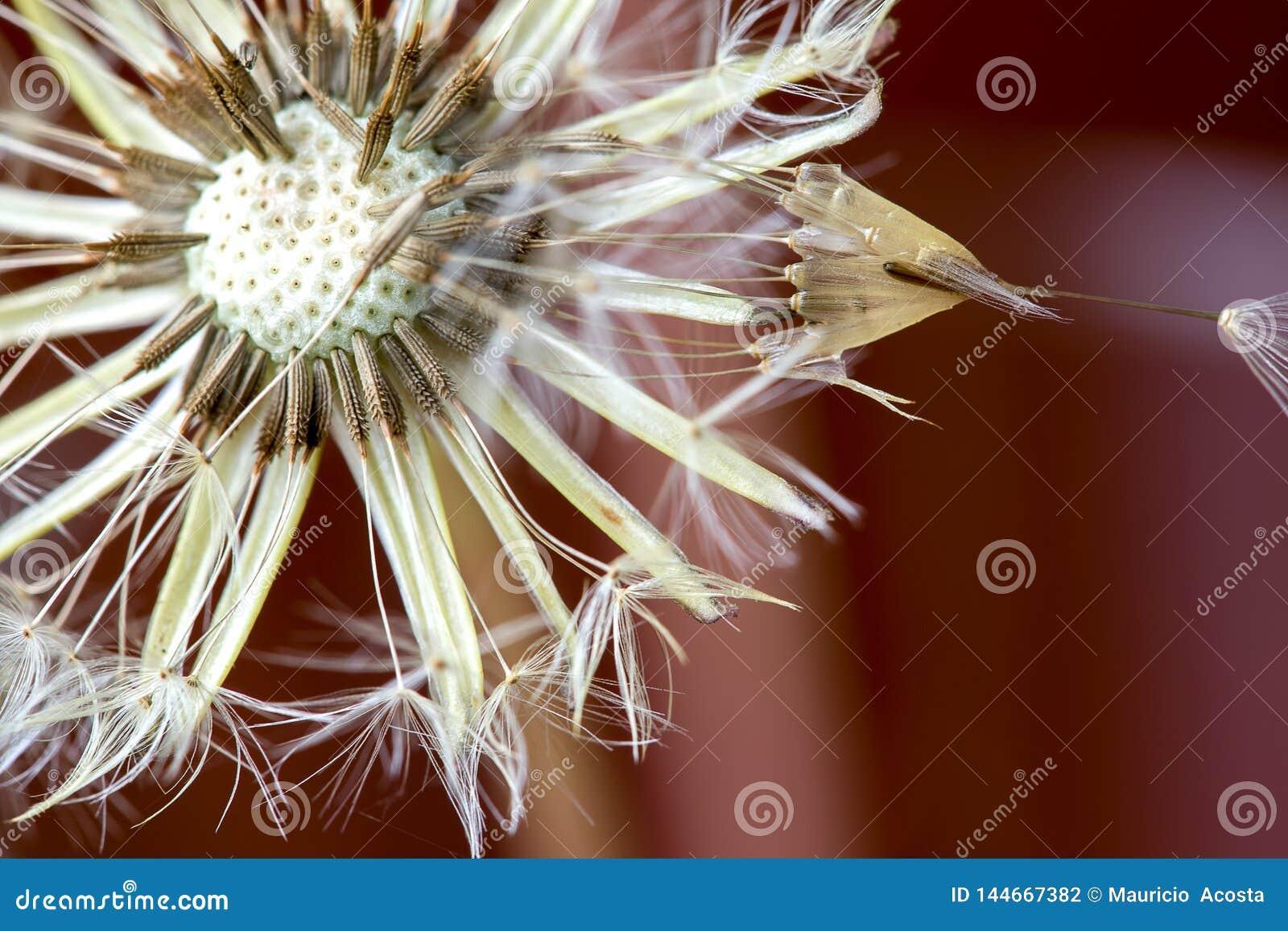 Cabe?a da semente do dente-de-le?o com orvalho da manh