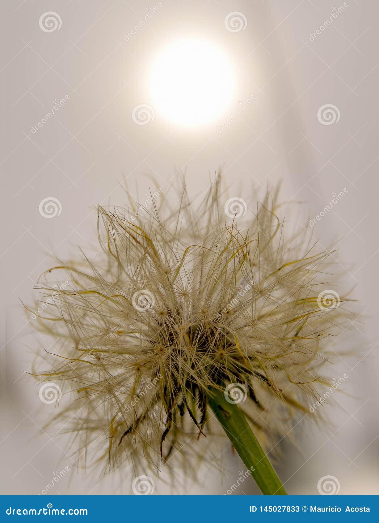 Cabe?a da semente do dente-de-le?o, com um sol tenous atr