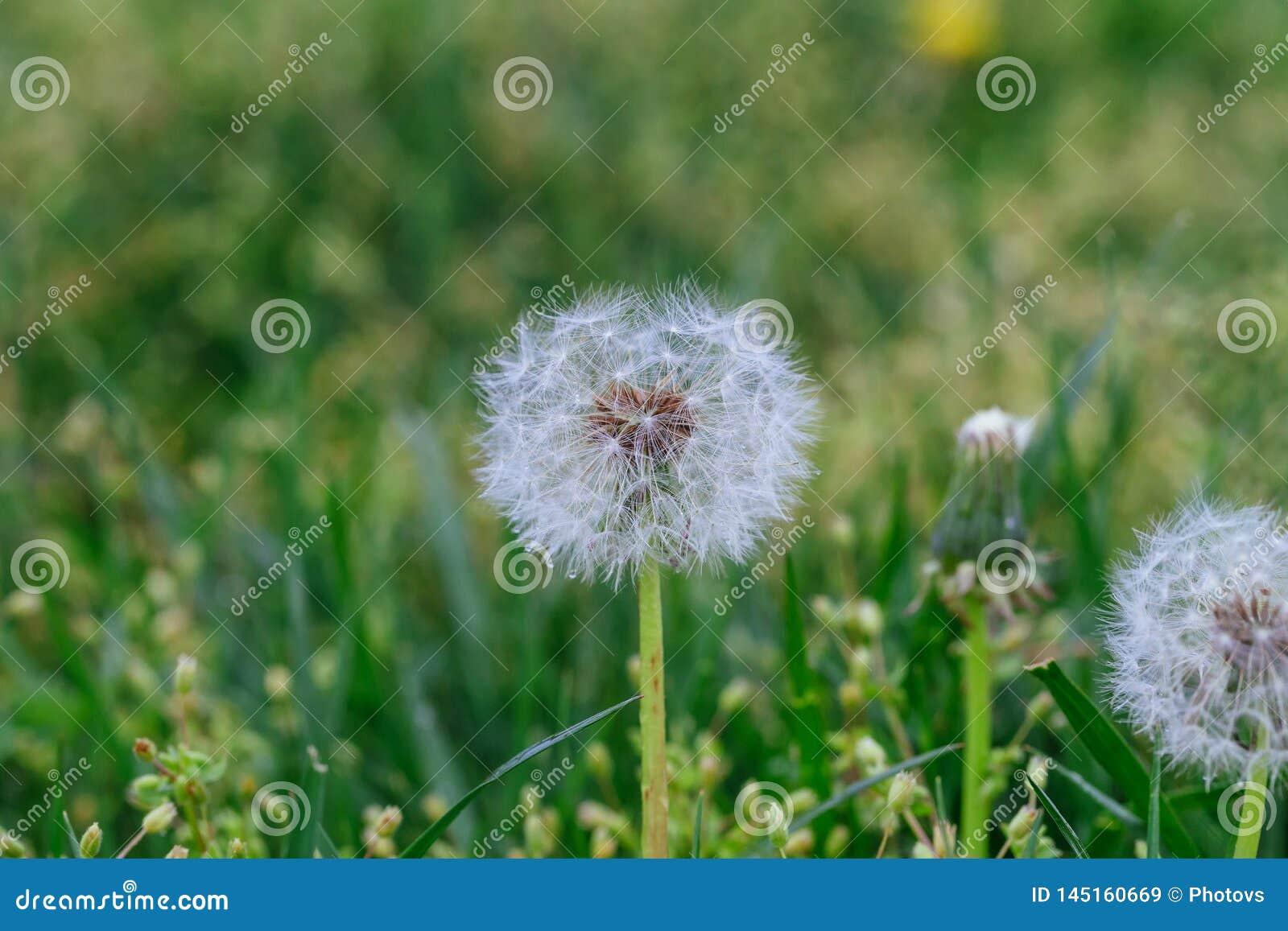 Cabeça da semente do dente-de-leão nas flores brancas do prado macro obscuro do close-up do fundo na grama verde