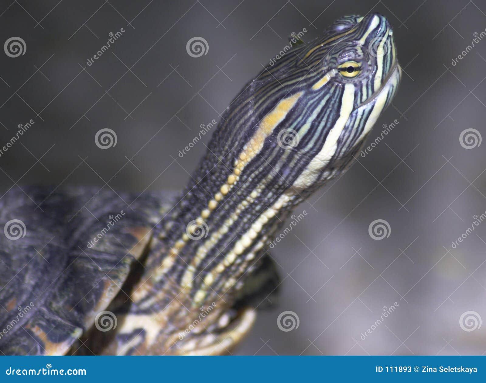 Cabeça da tartaruga