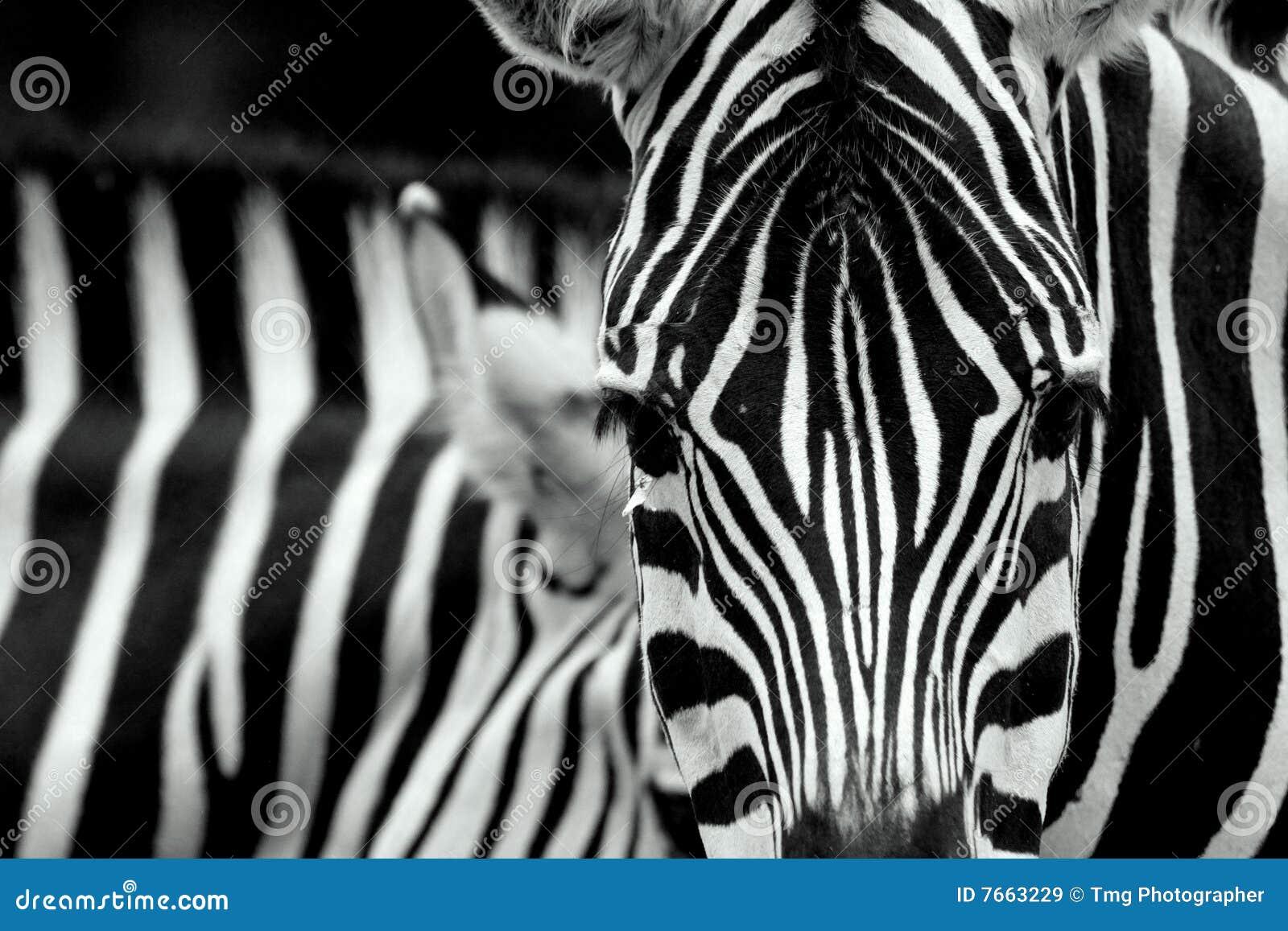 Cabeça da zebra