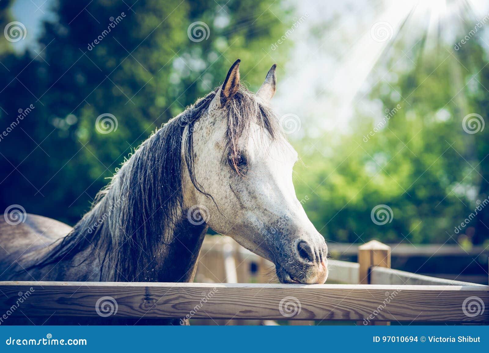 Cabeça de cavalo cinzenta árabe bonita na cerca do prado no fundo da natureza do verão